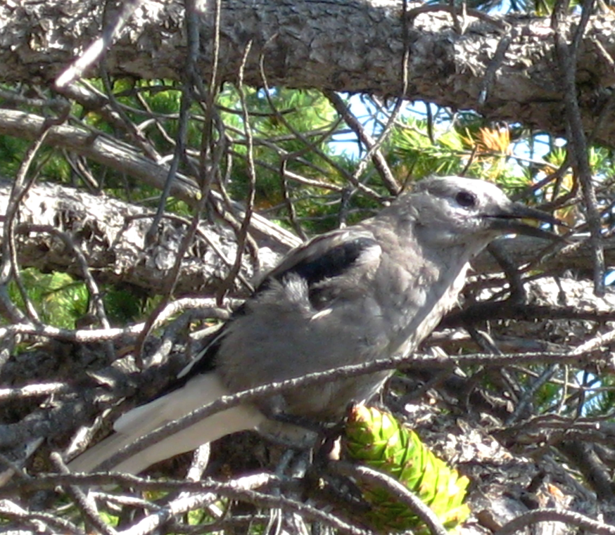 Clark's nutcracker is necessary to the dispersal and regeneration of high-elevation pine species, the seeds of which make up an important part of its diet. This individual is perched on a limber pine cone and has a seed in its beak, Kootenay Plains, Alberta. Photo by Vicki Noble.