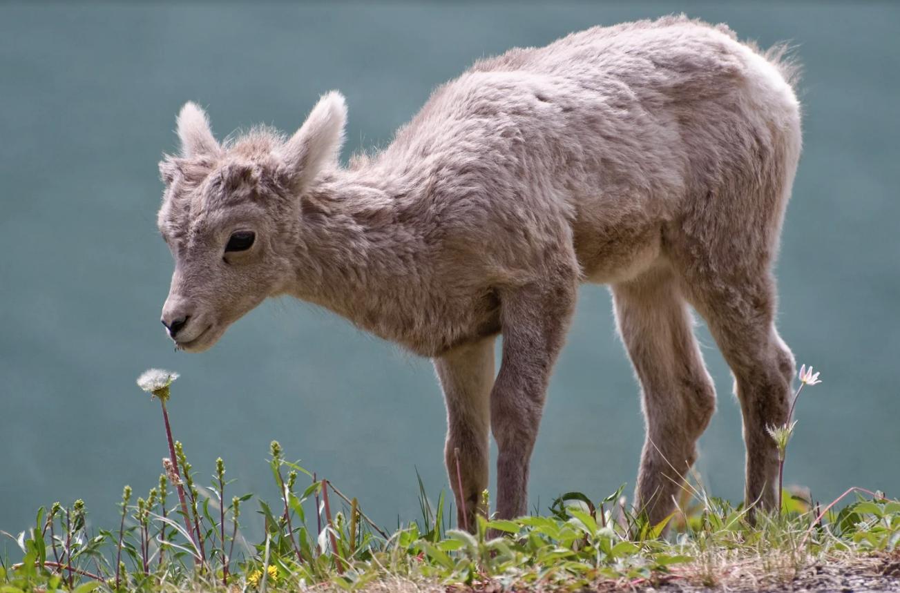 Bighorn sheep lamb.