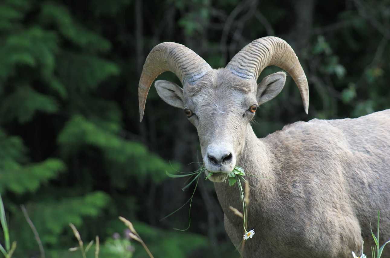 A young bighorn sheep ram, likely around three years old.