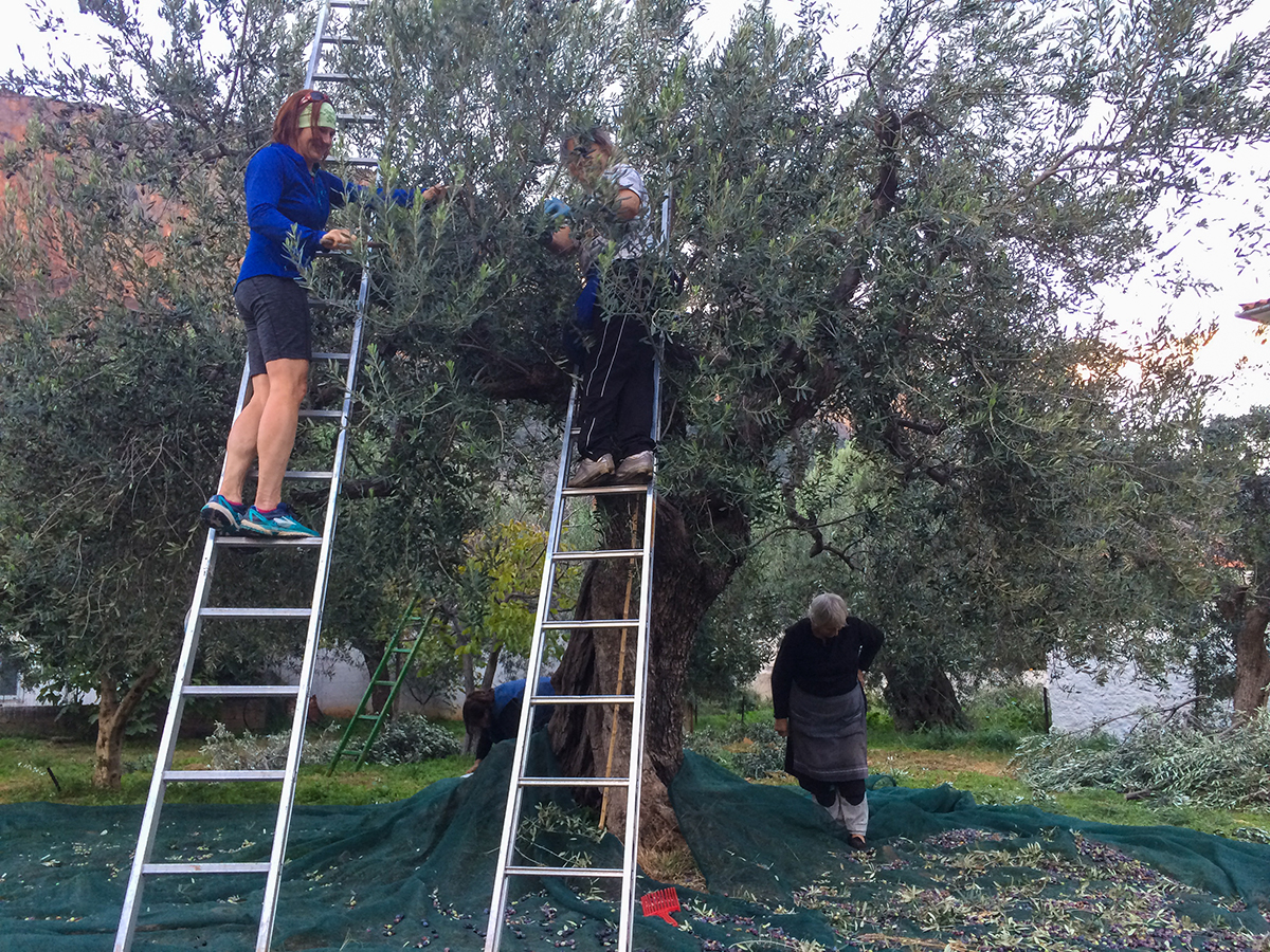 Helping to pick olives. Photo by Ralf Dujmvoits.