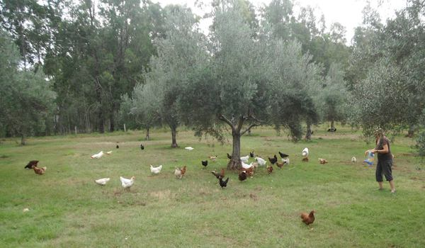 Chickens in the olive grove.jpg