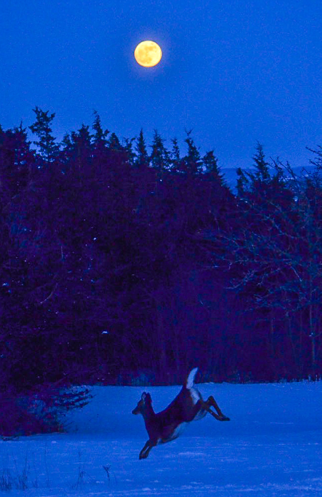 Deer and New Years Day Supermoon