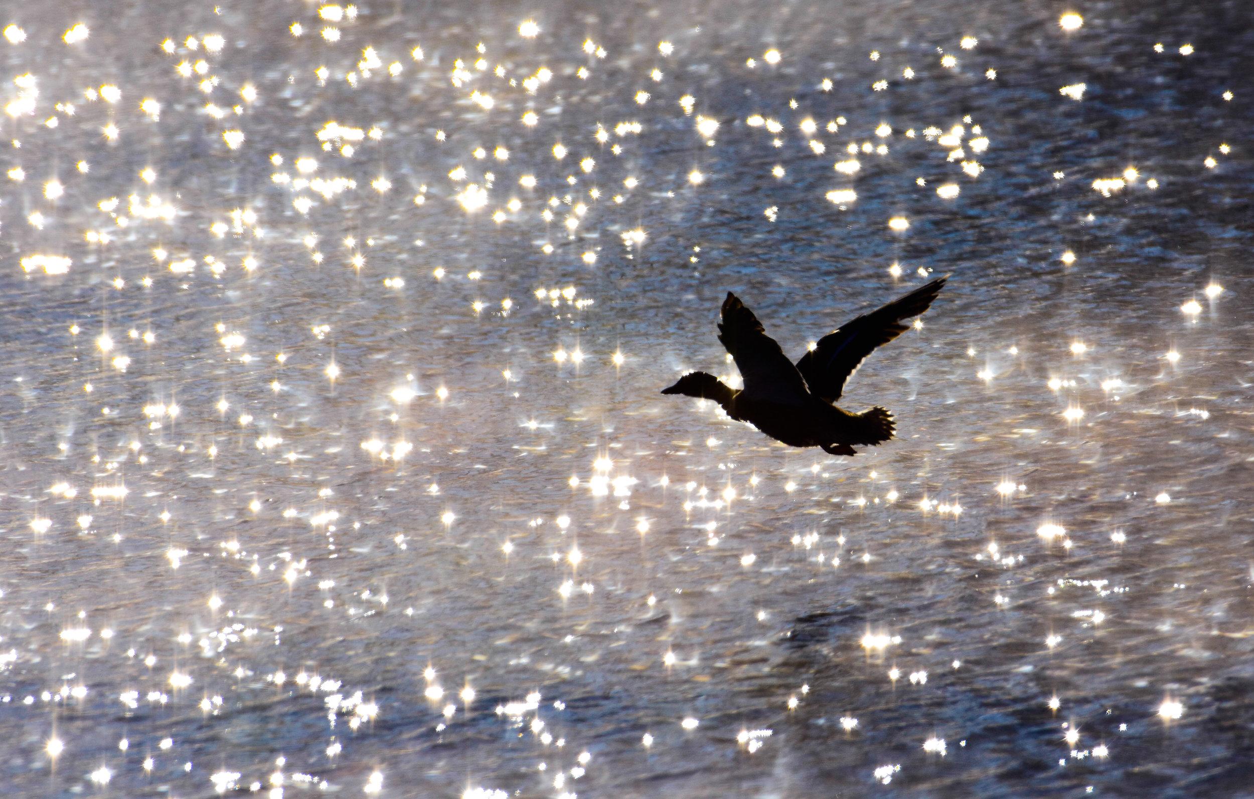 Mallard Silhouette over Lake Champlain