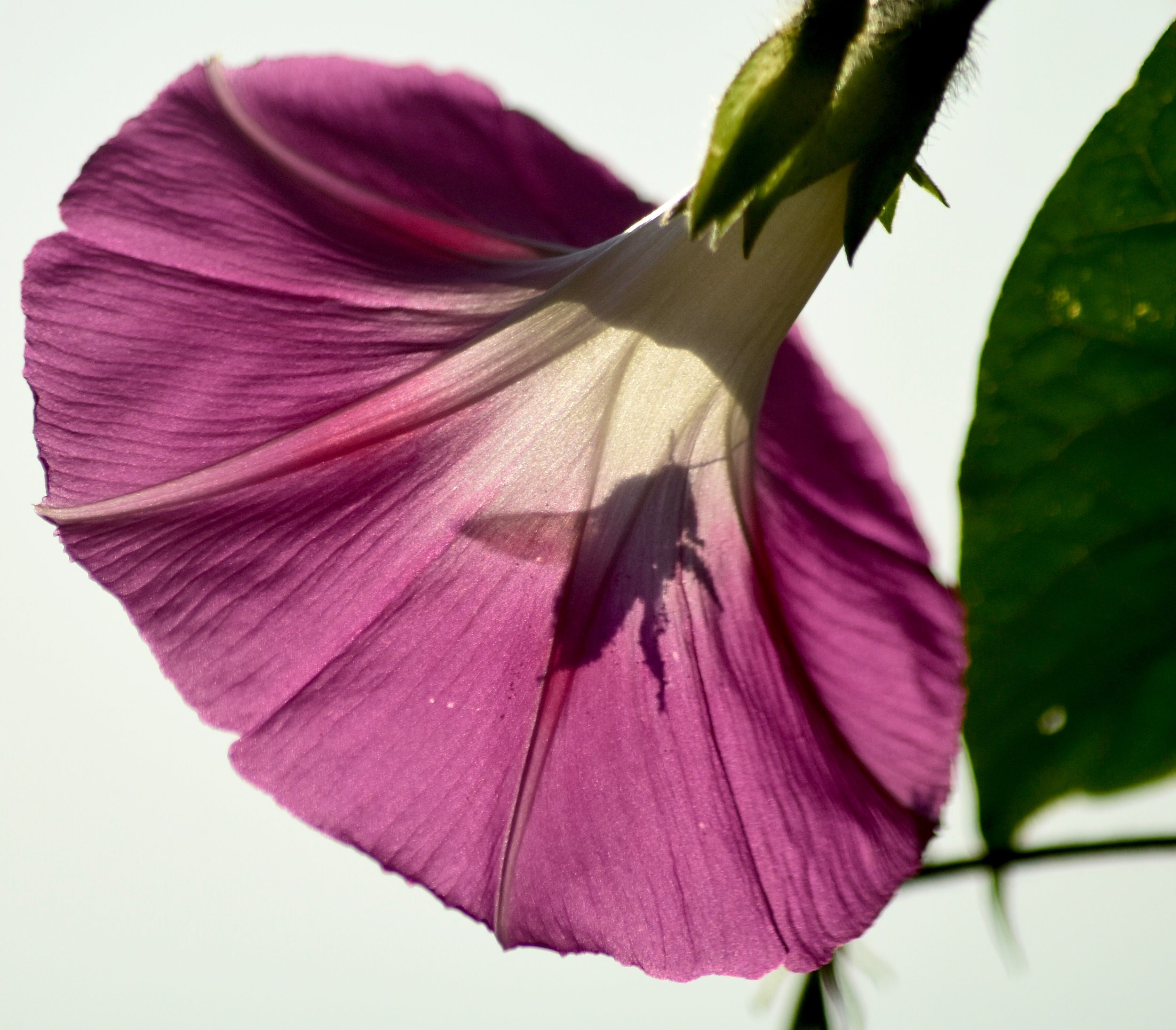 Bumblebee Silhouette in Morning Glory