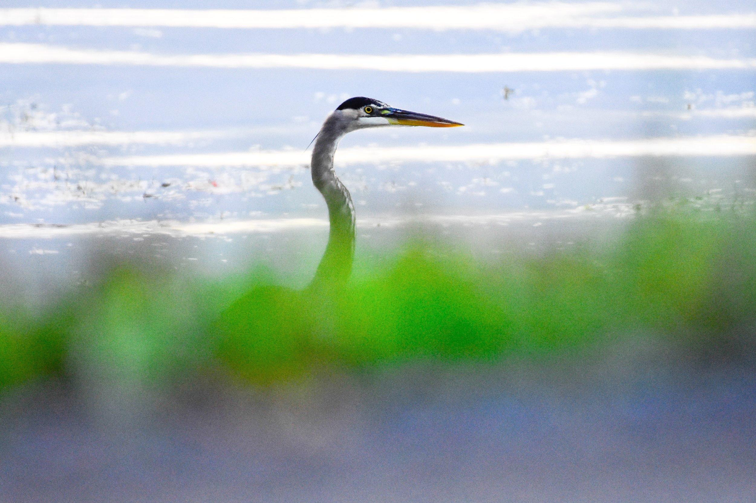 Great Blue Heron in Lake Champlain_2