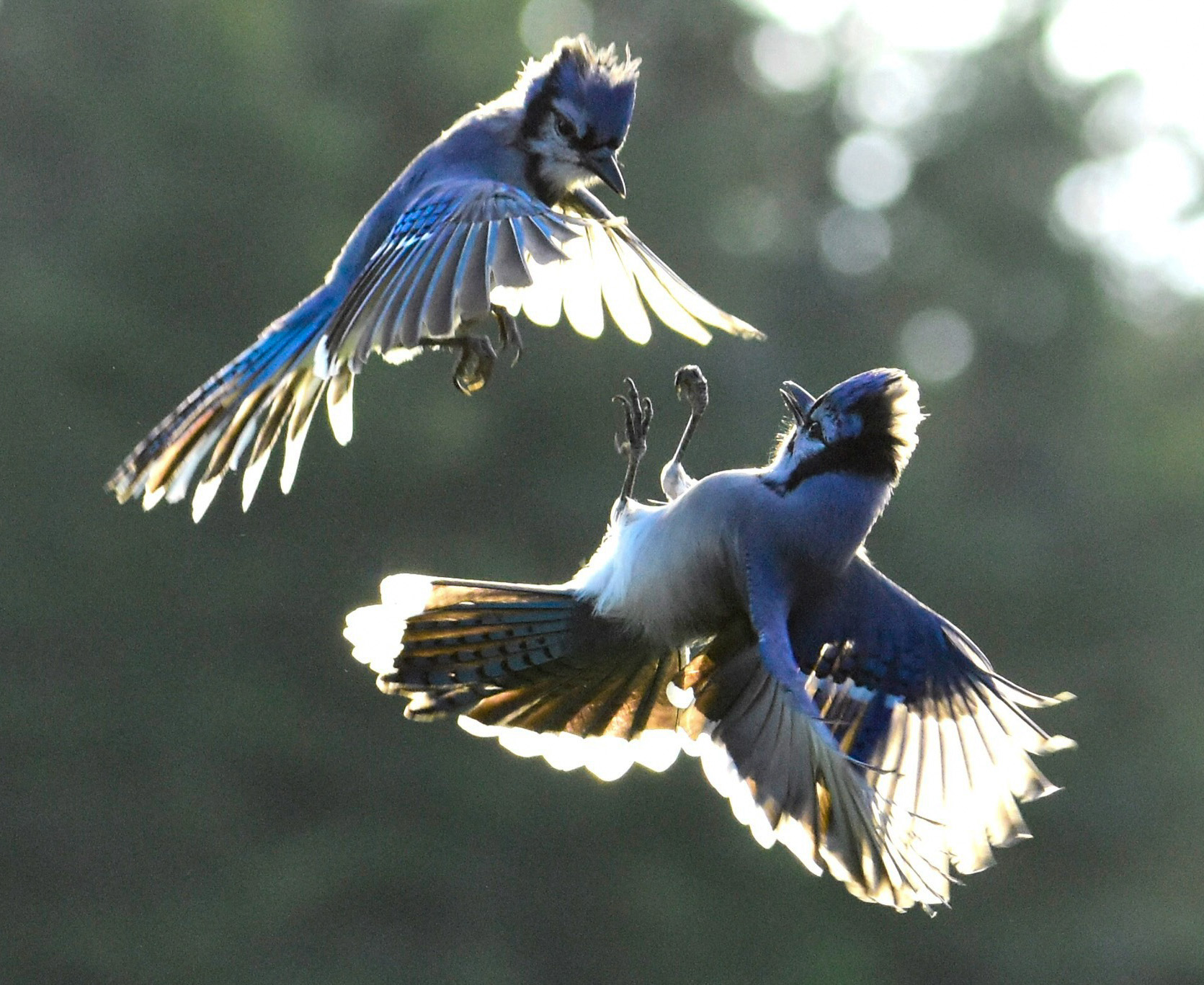 Fighting Blue Jays