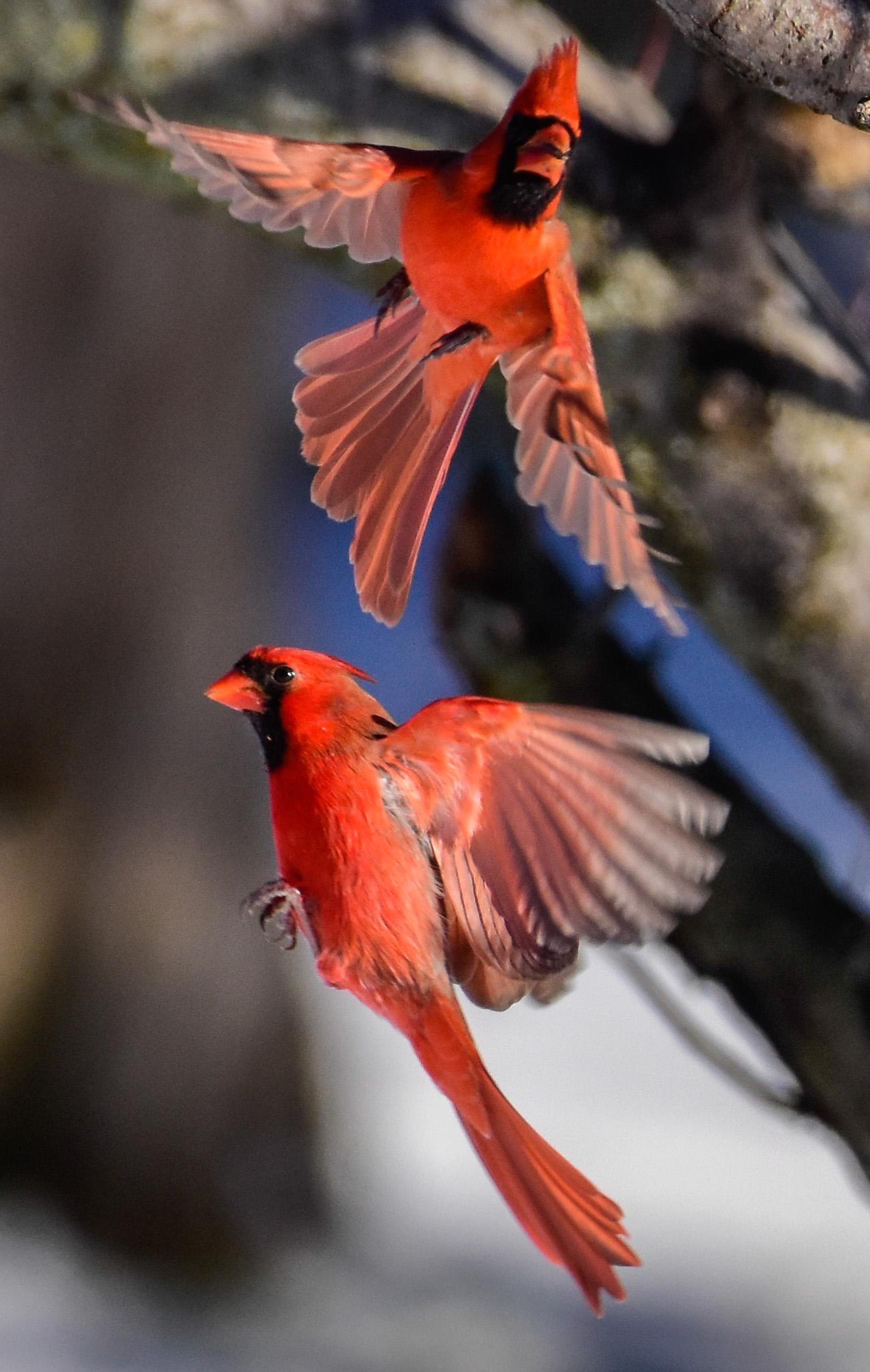 Male Cardinals in Flight