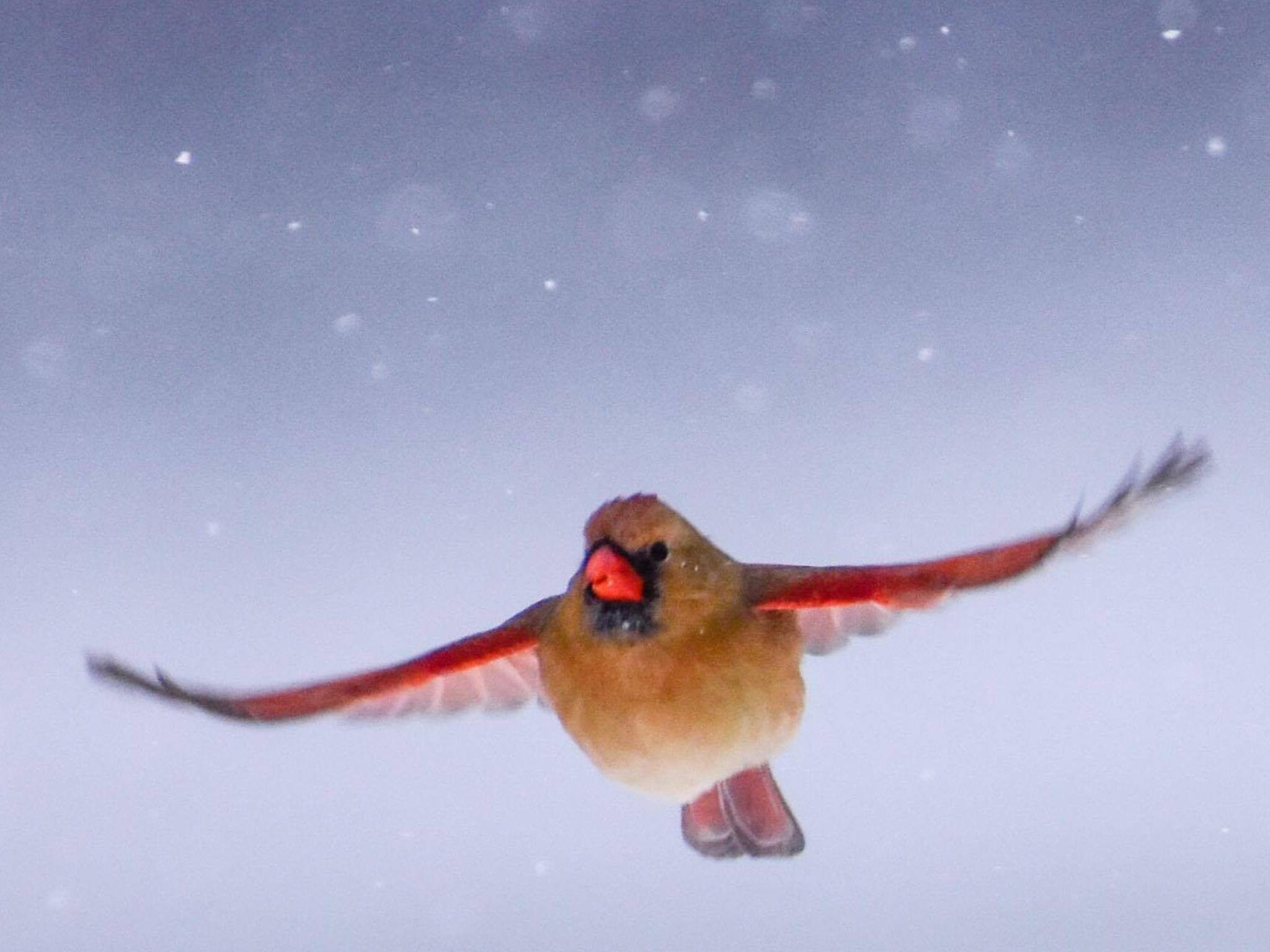 Female Cardinal in Flight_1