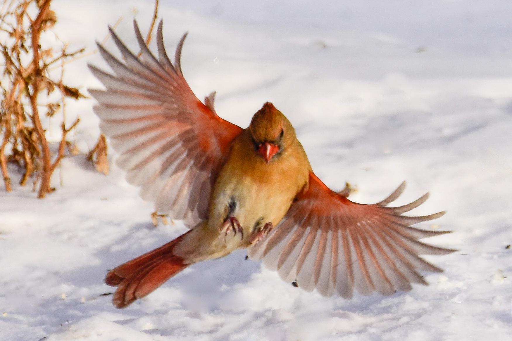 Female Cardinal Landing on Snowy Ground
