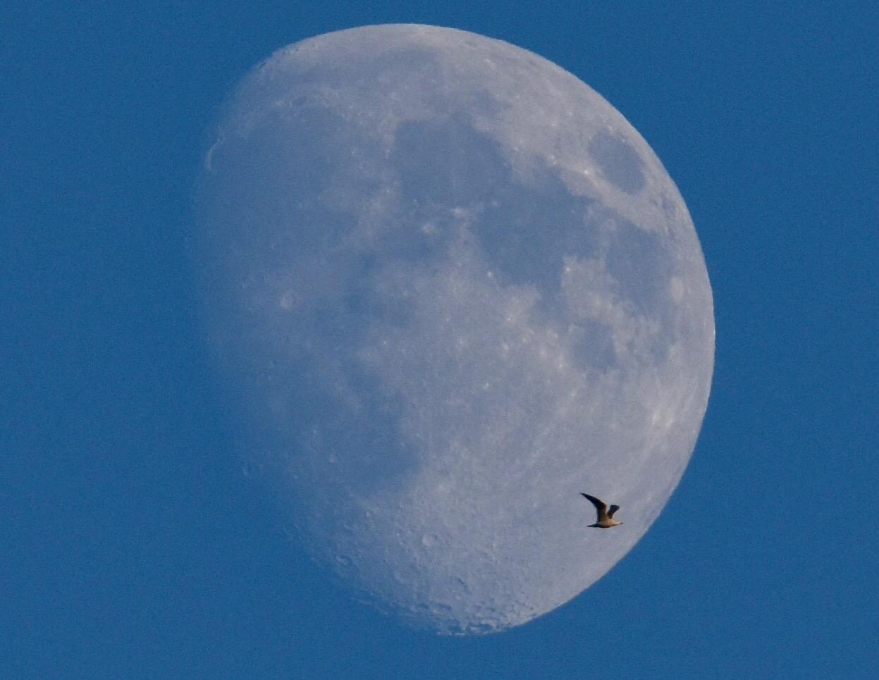 Seagull and Moon.jpg