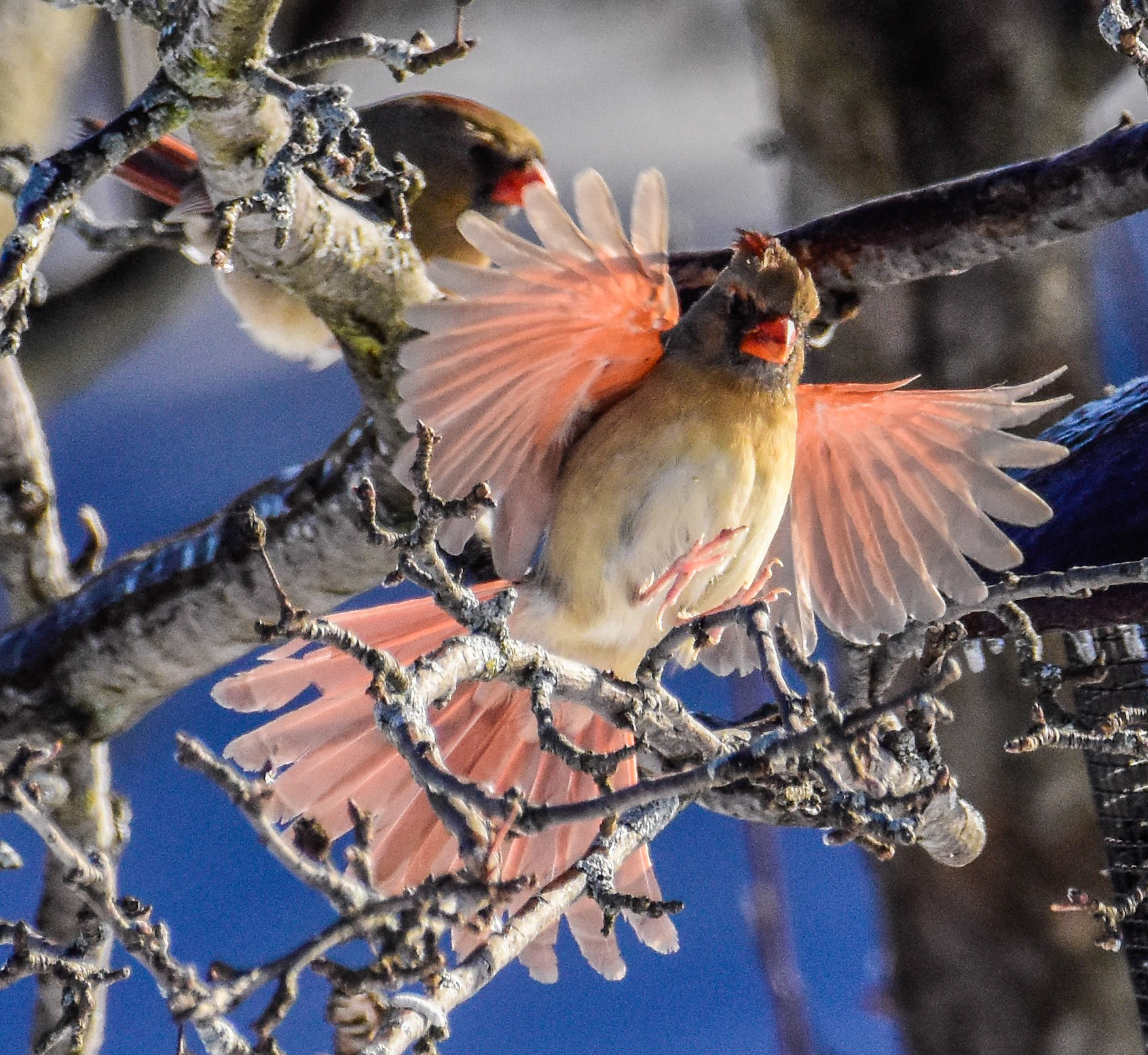 Female Cardinal Landing in Tree