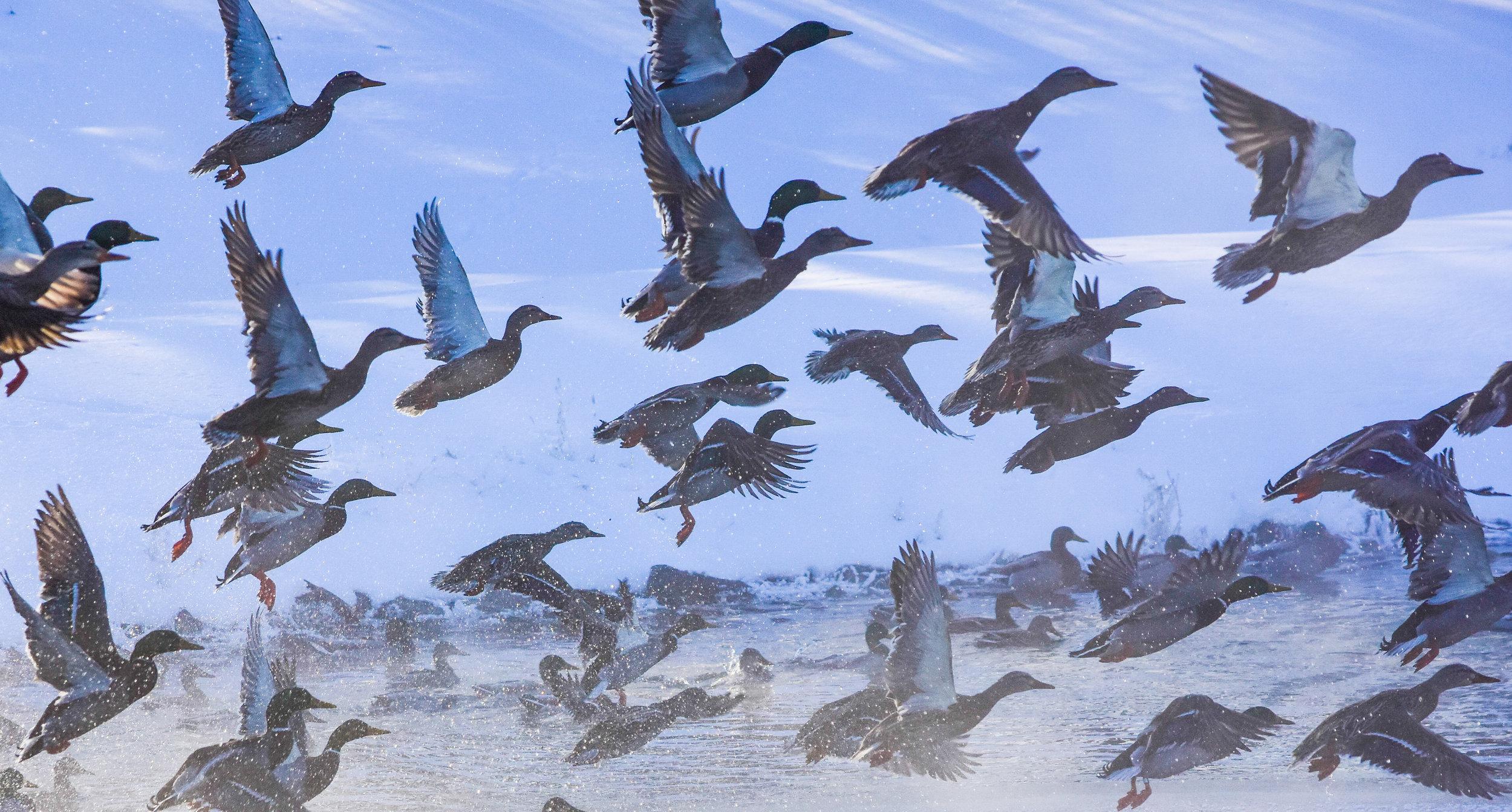 Mallards Taking off over Lake Champlain_2
