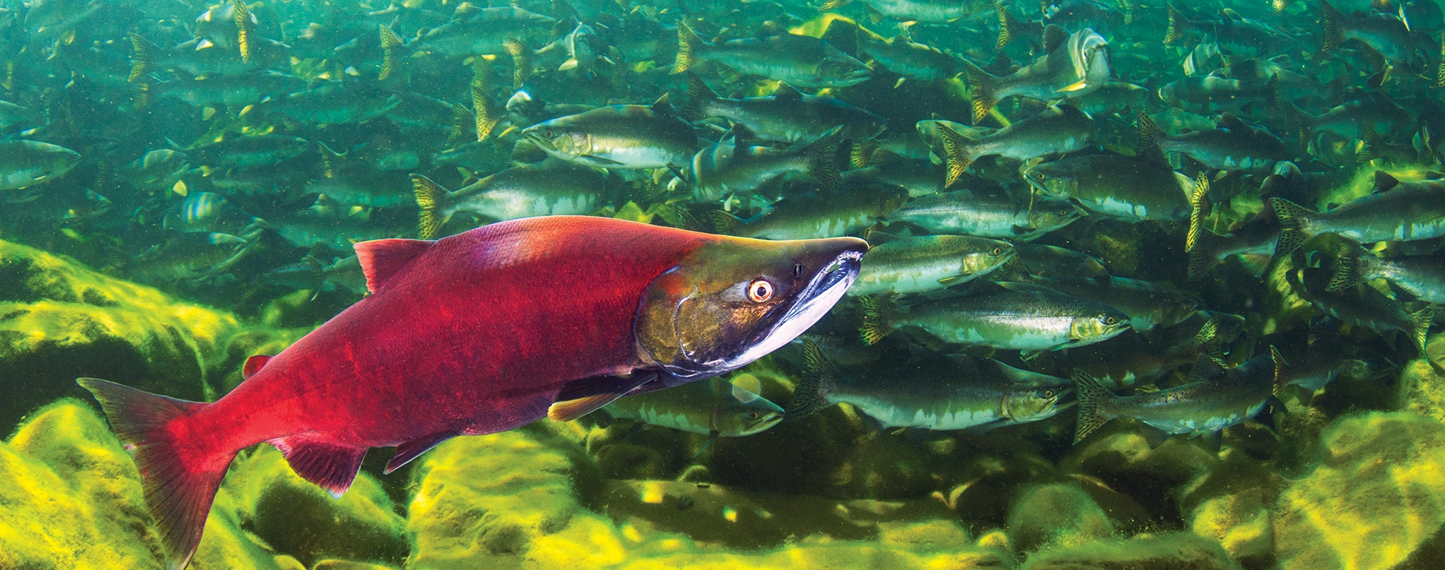 SPEAKING of SALMON - Films, photos, and writing in support and celebration of wild salmon