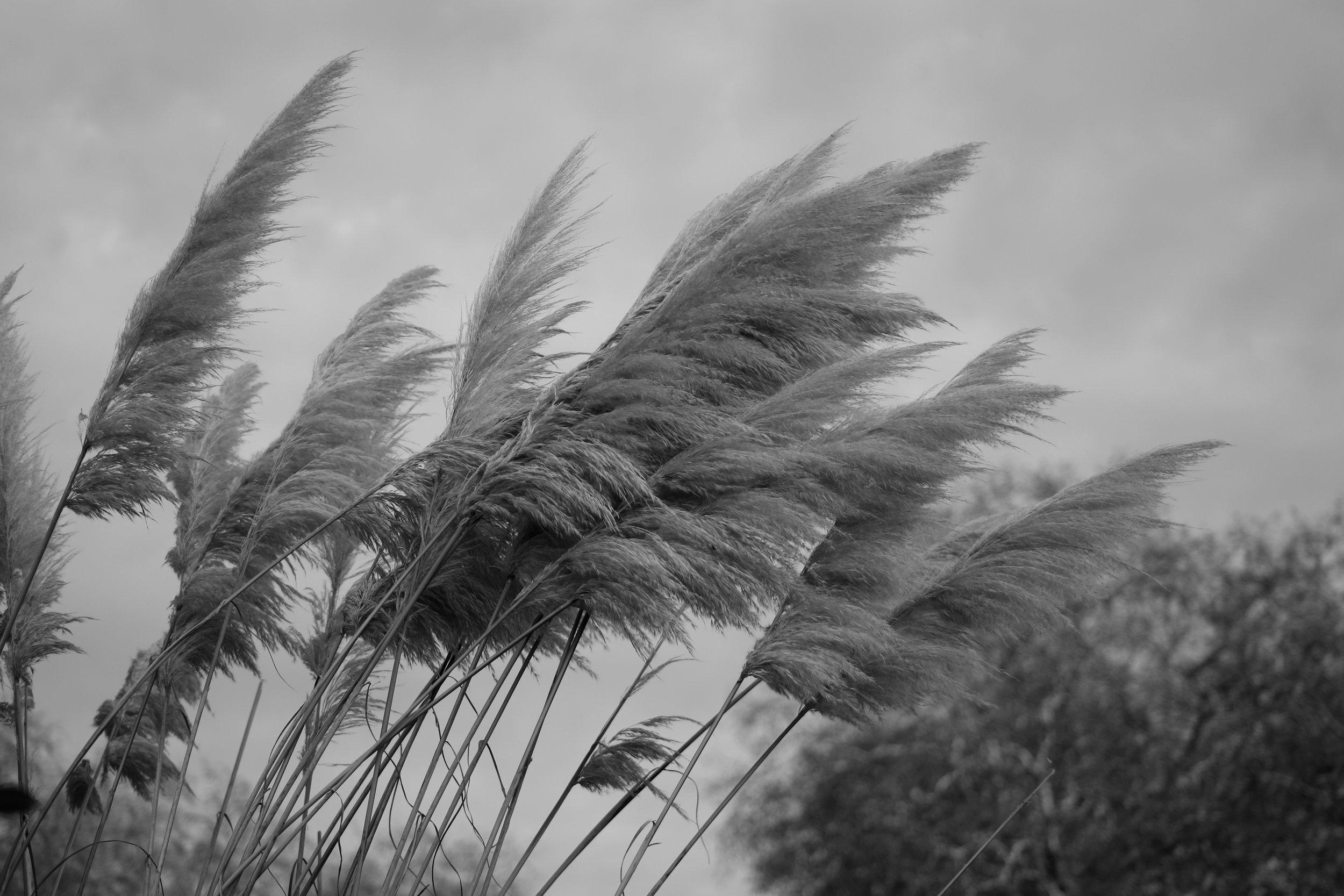 Feathery Reeds in Hyde Park, London, England   https://www.ebay.com/itm/263679716052?ssPageName=STRK:MESELX:IT&_trksid=p3984.m1555.l2649