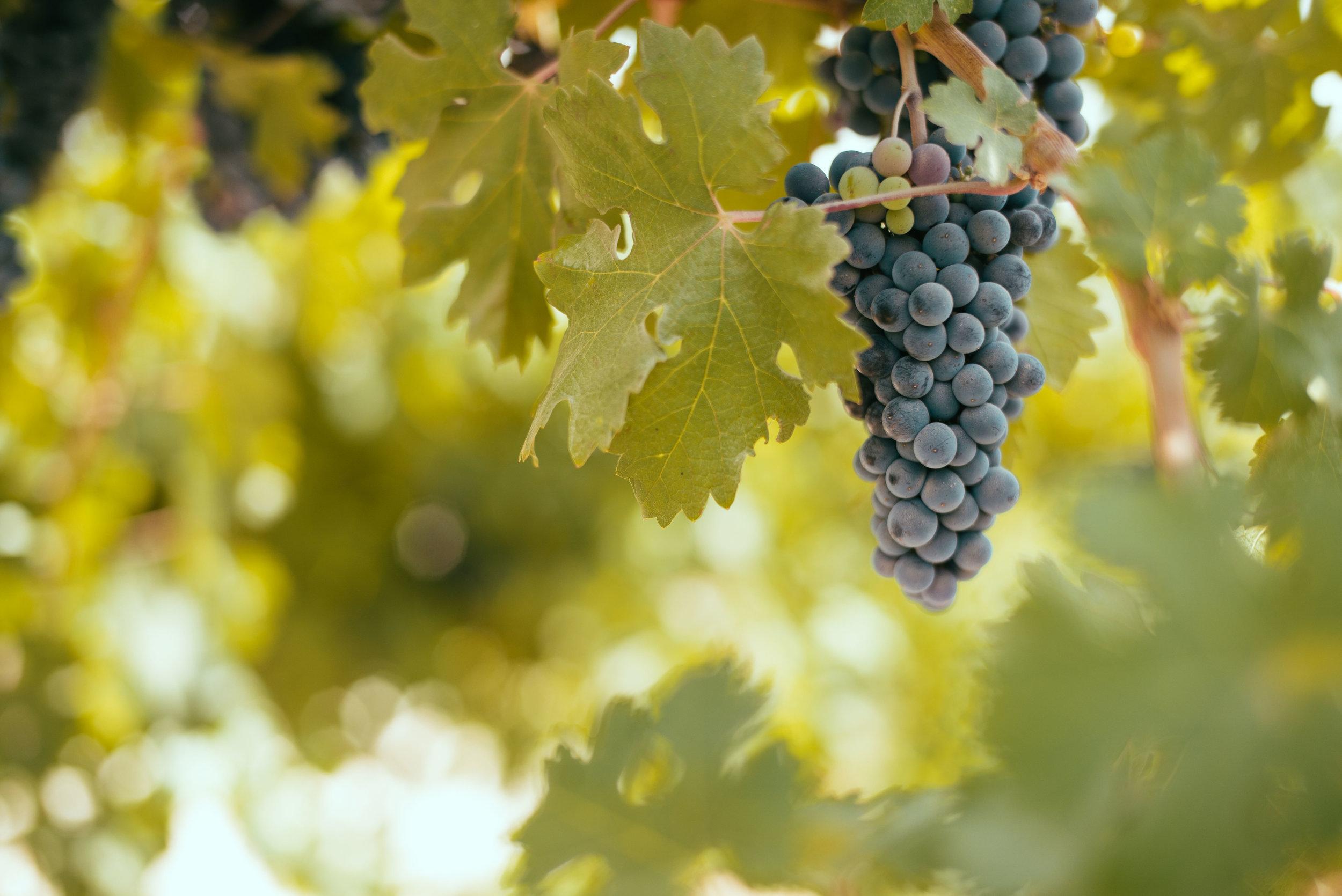 gush etzion grapes (1).jpg