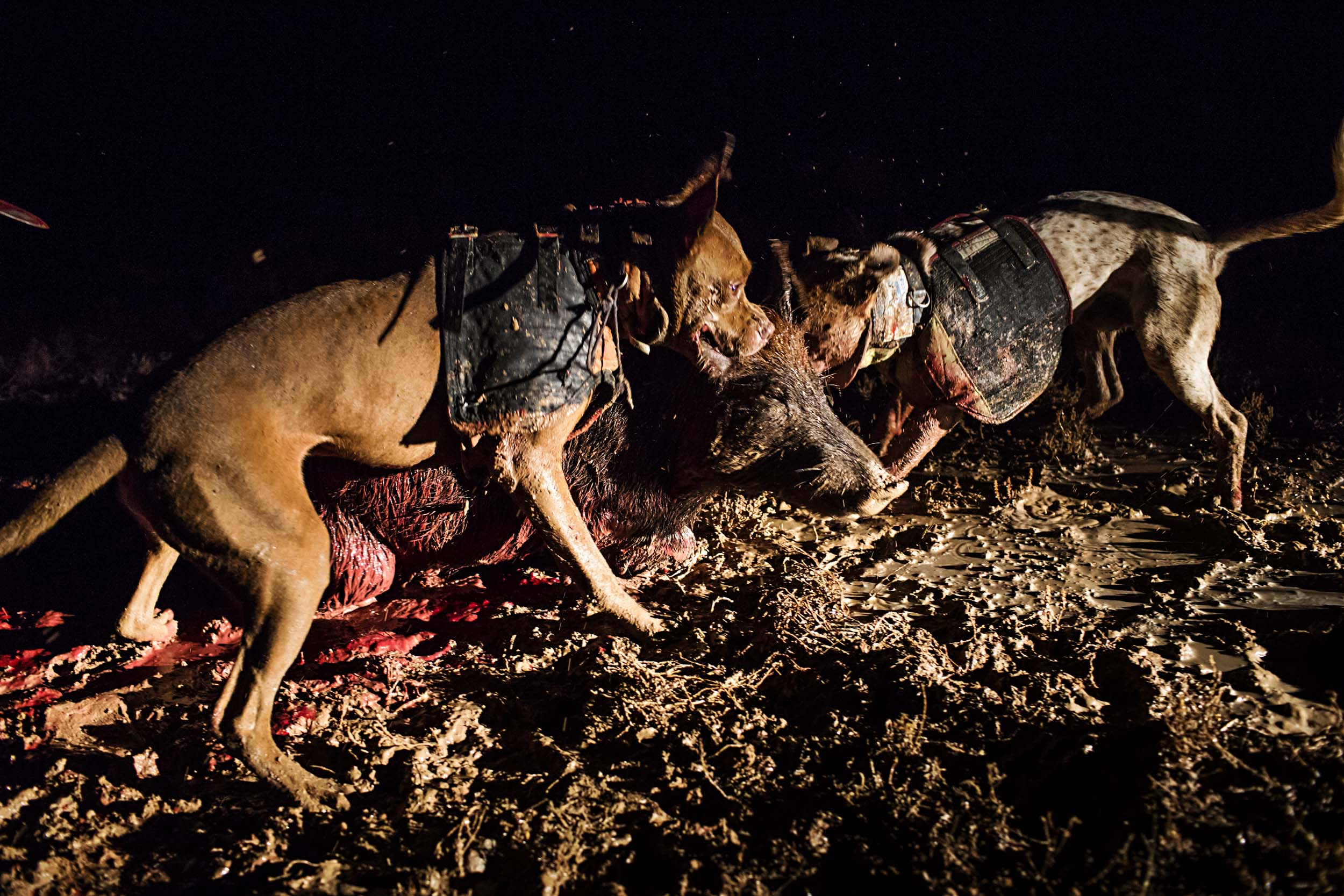 Hunting dogs subdue a wild boar on a nighttime hunt in Wilcannia, NSW.