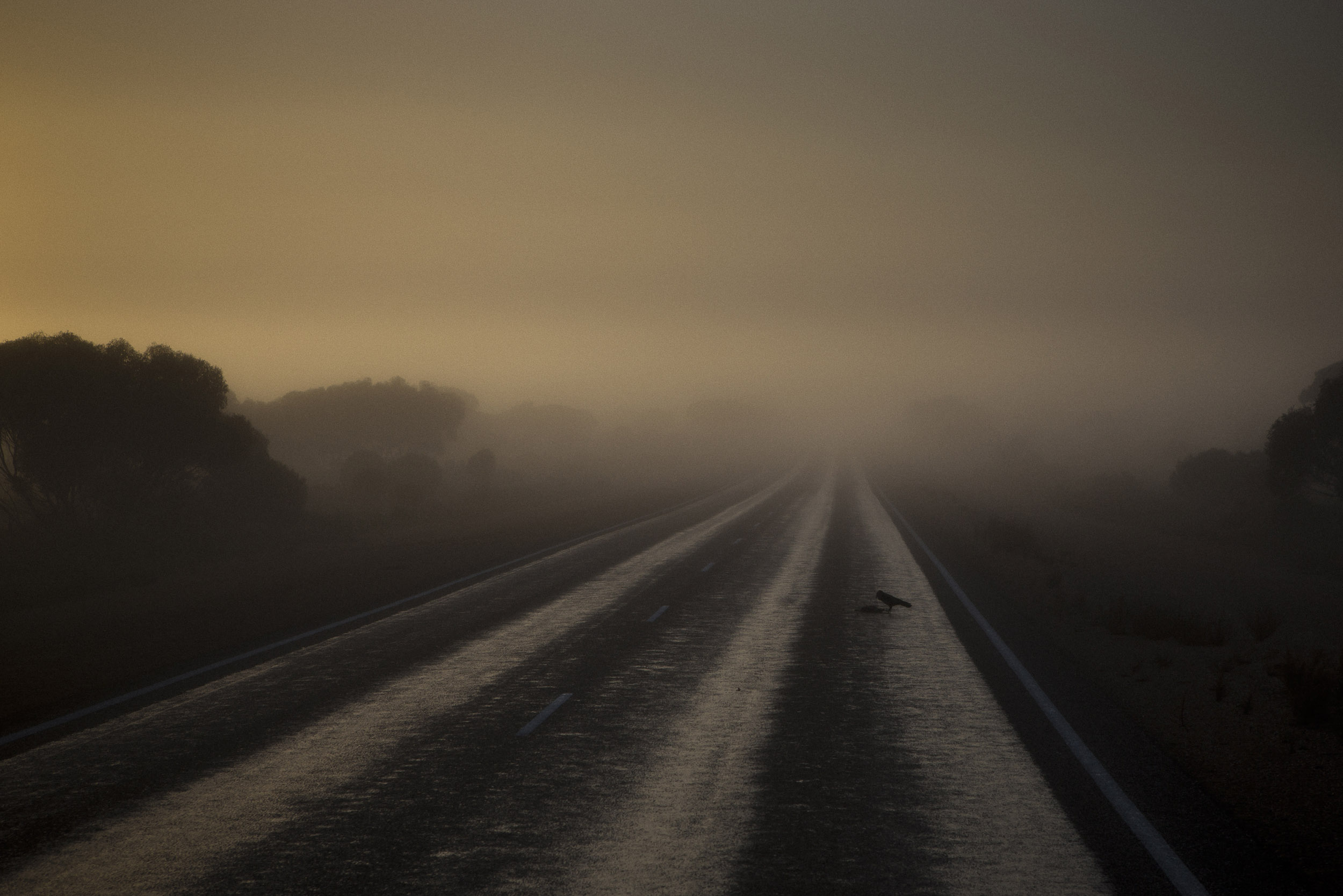 A crow picks at road-kill in the early morning fog on the Eyre highway, Caiguna, Western Australia.