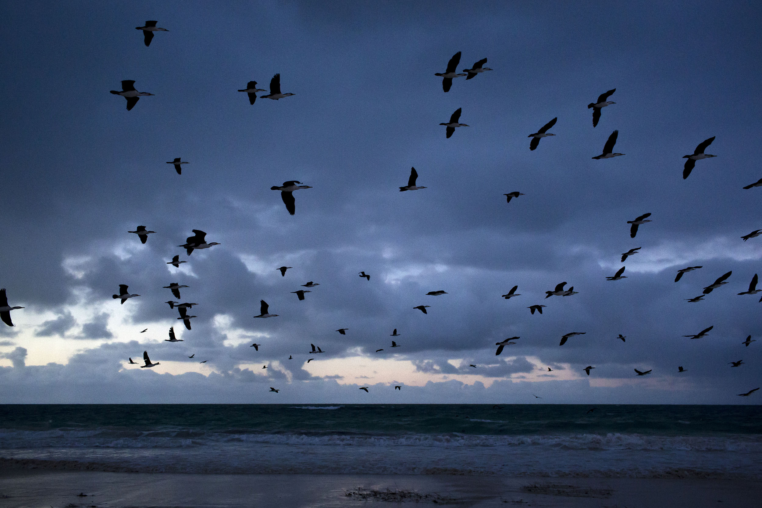 Seabirds known as Shags take flight at dawn at the beach, Eucla, Western Australia.