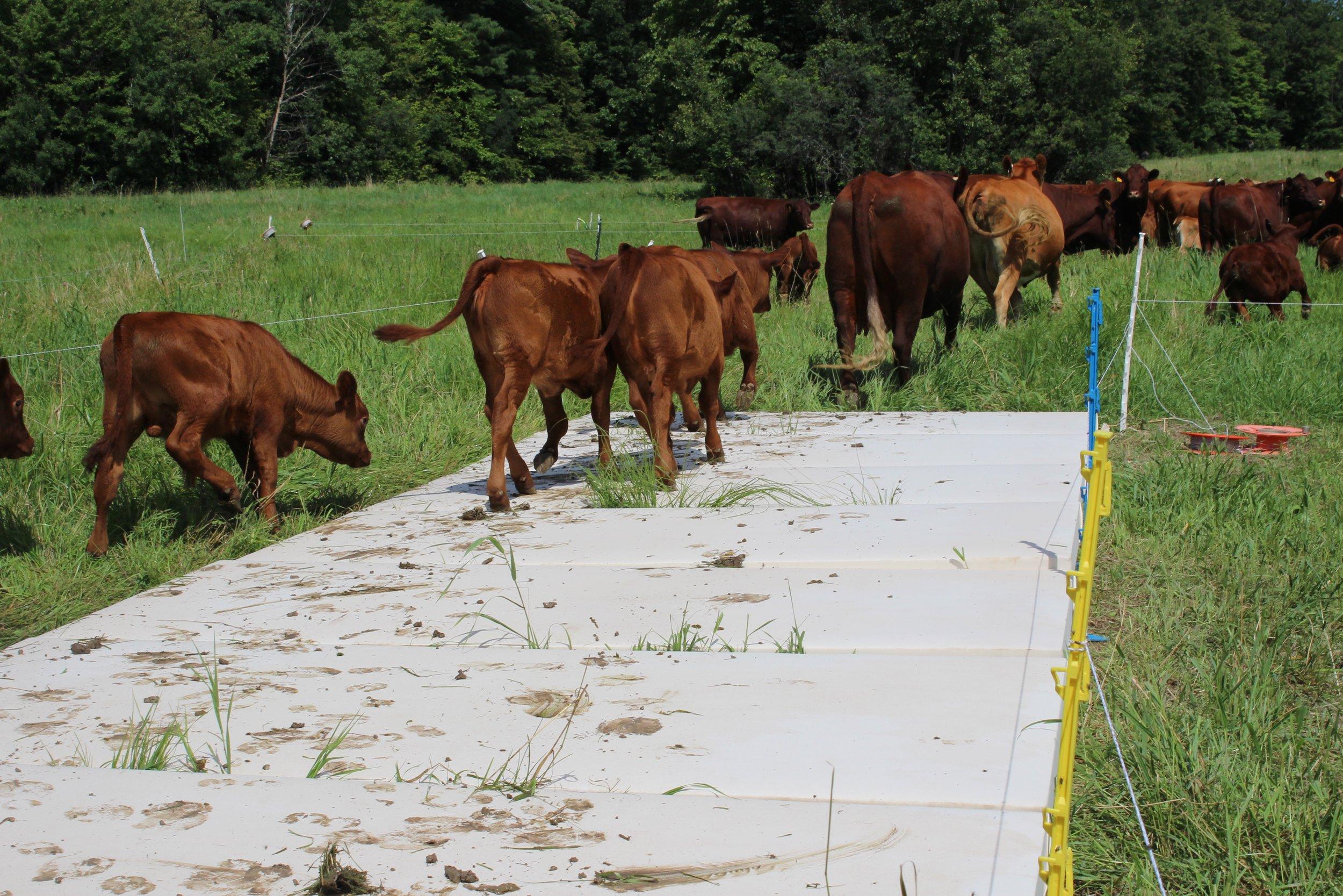 Keira Meiser cow print 3.jpeg