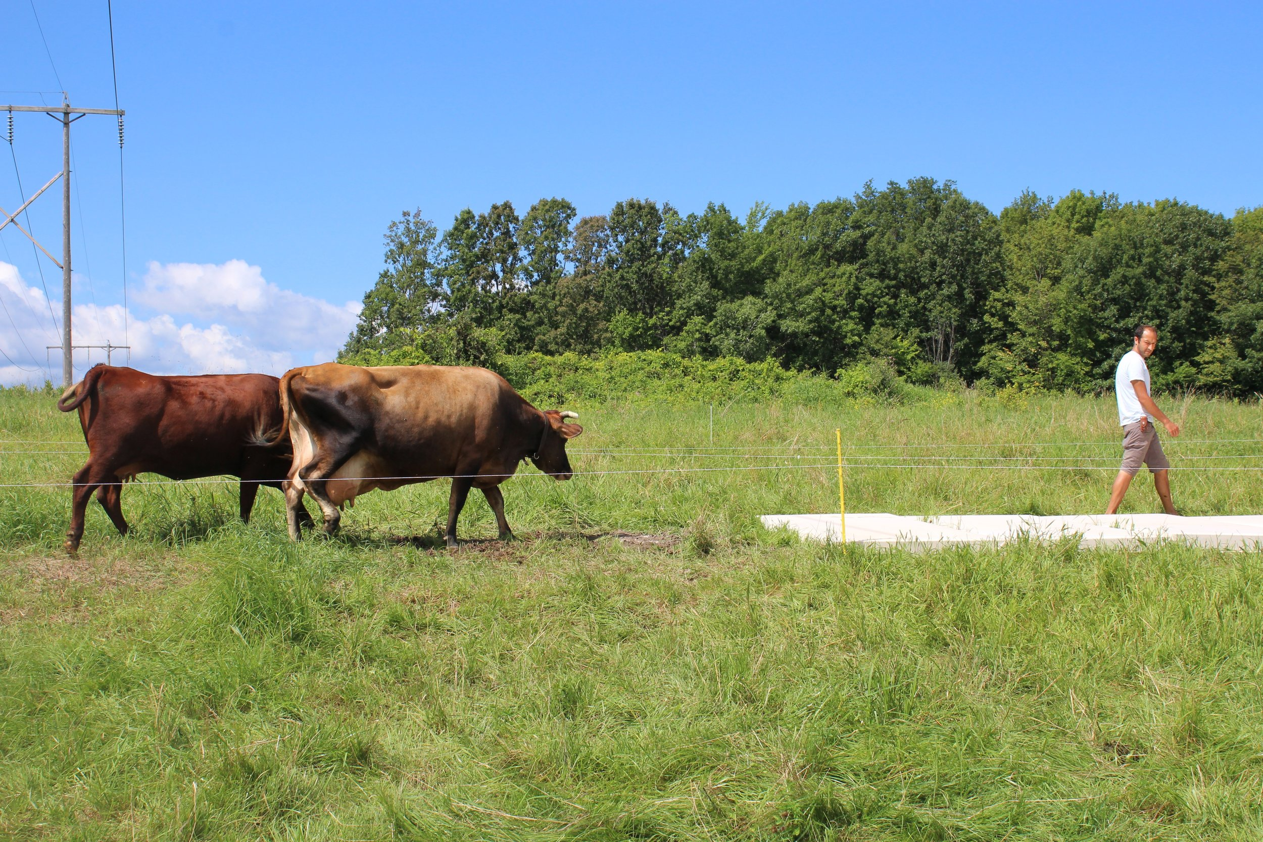 Keira Meiser cow print 5.jpeg