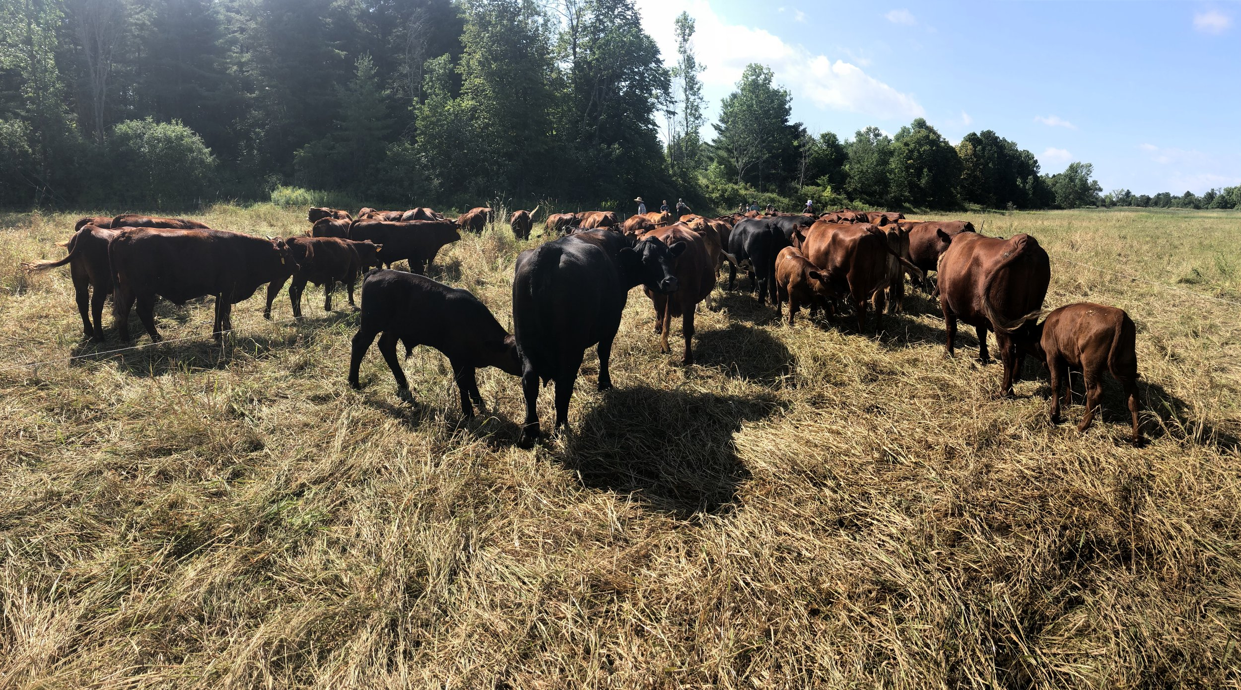 cow pano.jpg