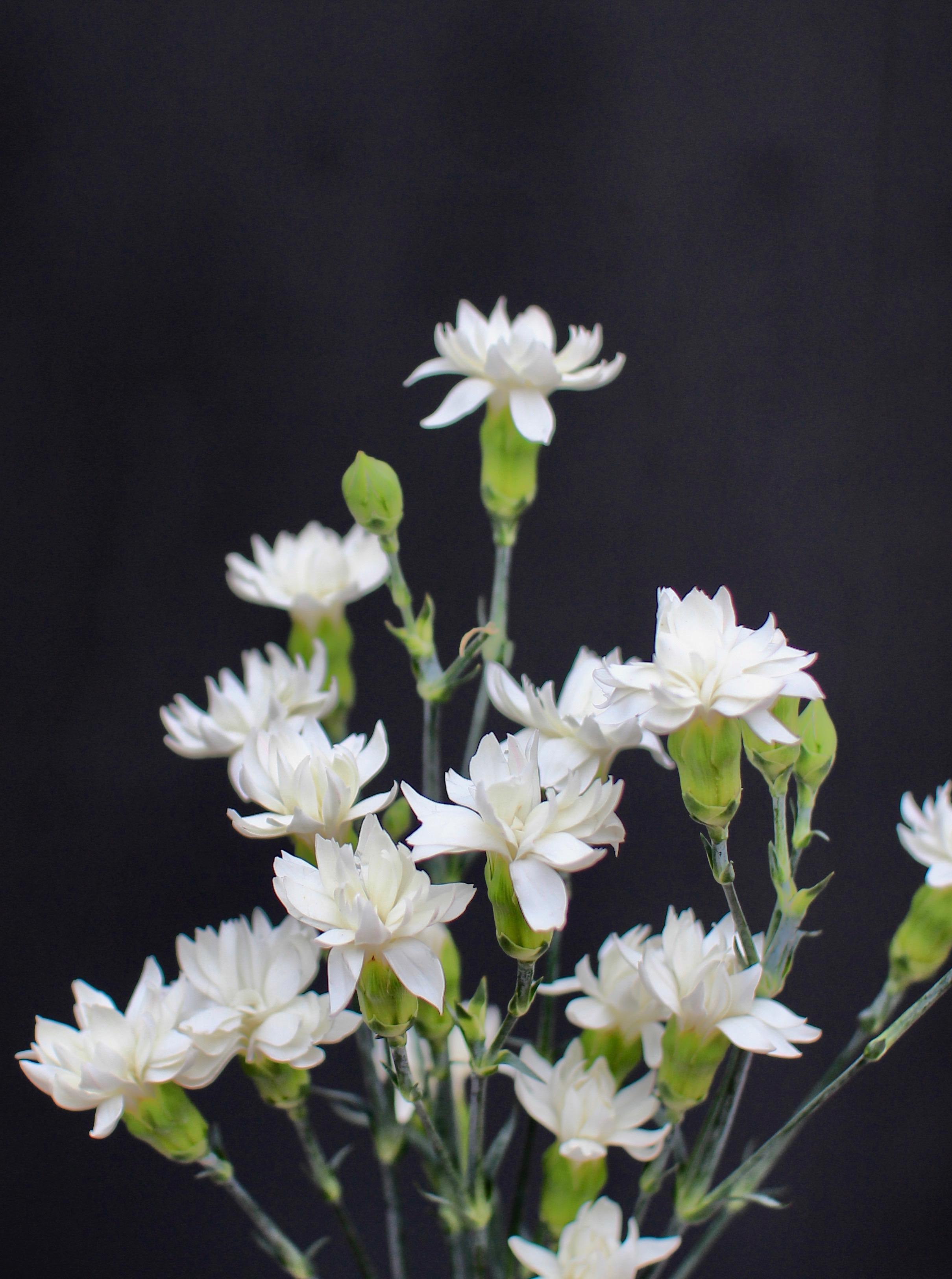 MINI STAR CARNATIONS, white