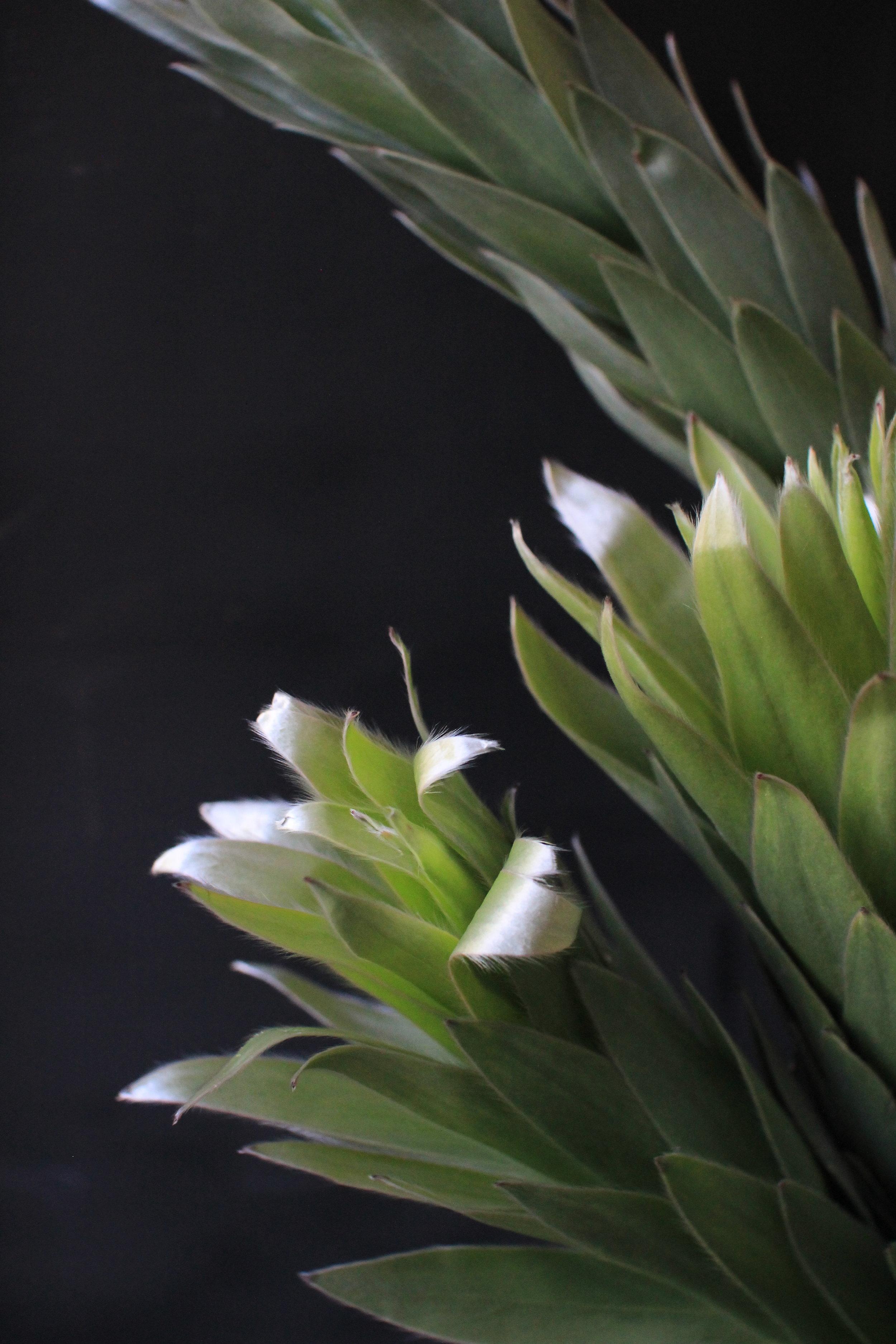 Silver Tree Protea