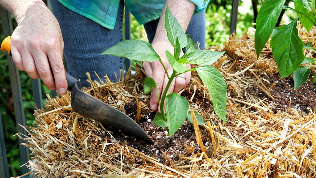 straw-bale-planting-pepper-web.jpg