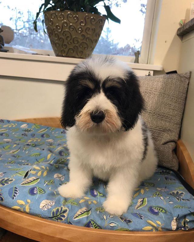 Dog of the Day, Balboa! Polish Lowland Sheepdog puppy!!!! 🐾💕❤️💚💛💙