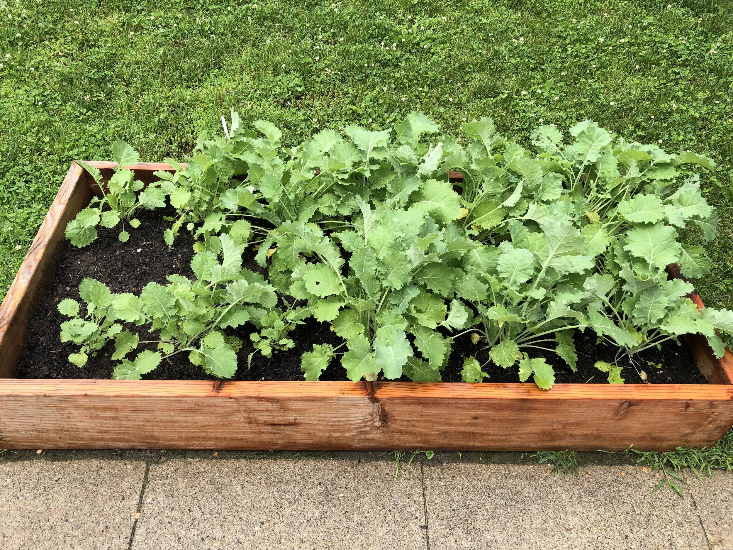 Kale grows happy at the Scarborough Church