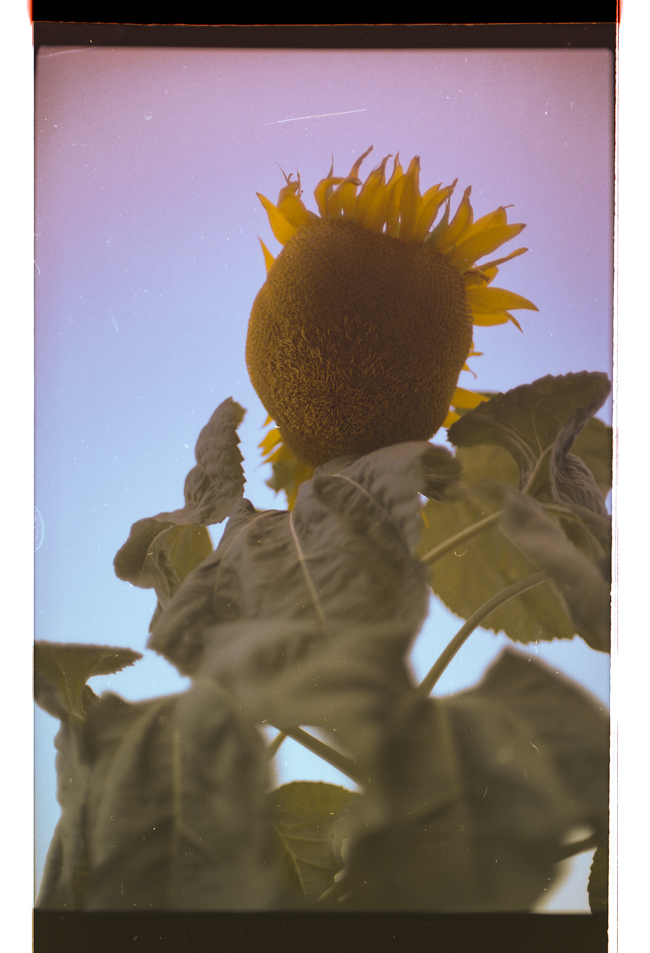 """sunflower w/ vendetta"" (c) Phil Provencio"