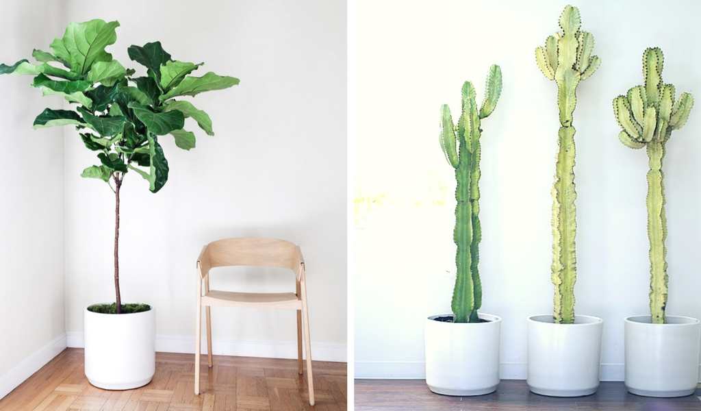 Left photo:  Fiddle Leaf Fig Tree  right photo:  Desert Cactus