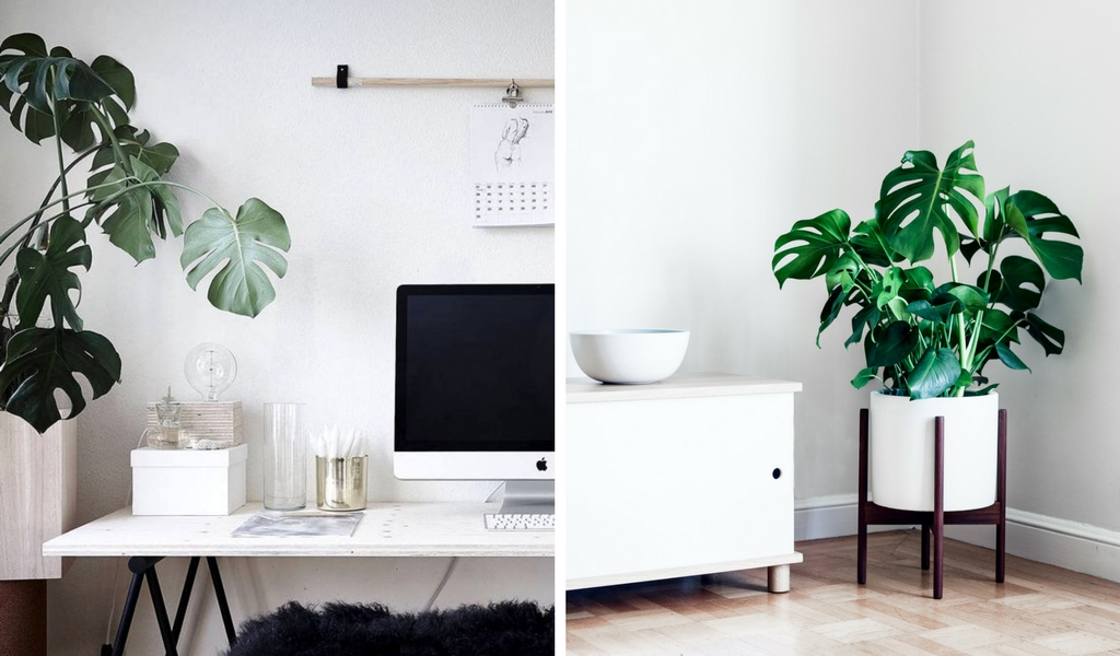 Right photo by  Coco Lapine design  left photo  Monstera Deliciosa  by Léon & George