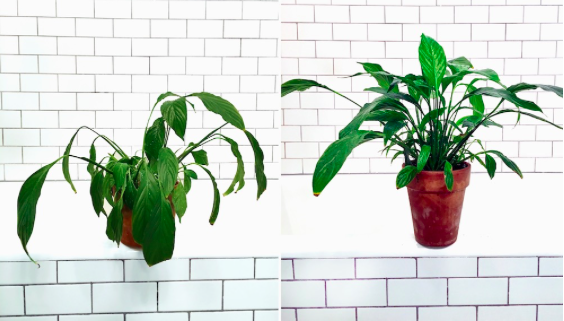 Photo by:  Léon & George  of a Peace Lily before and after shower time.