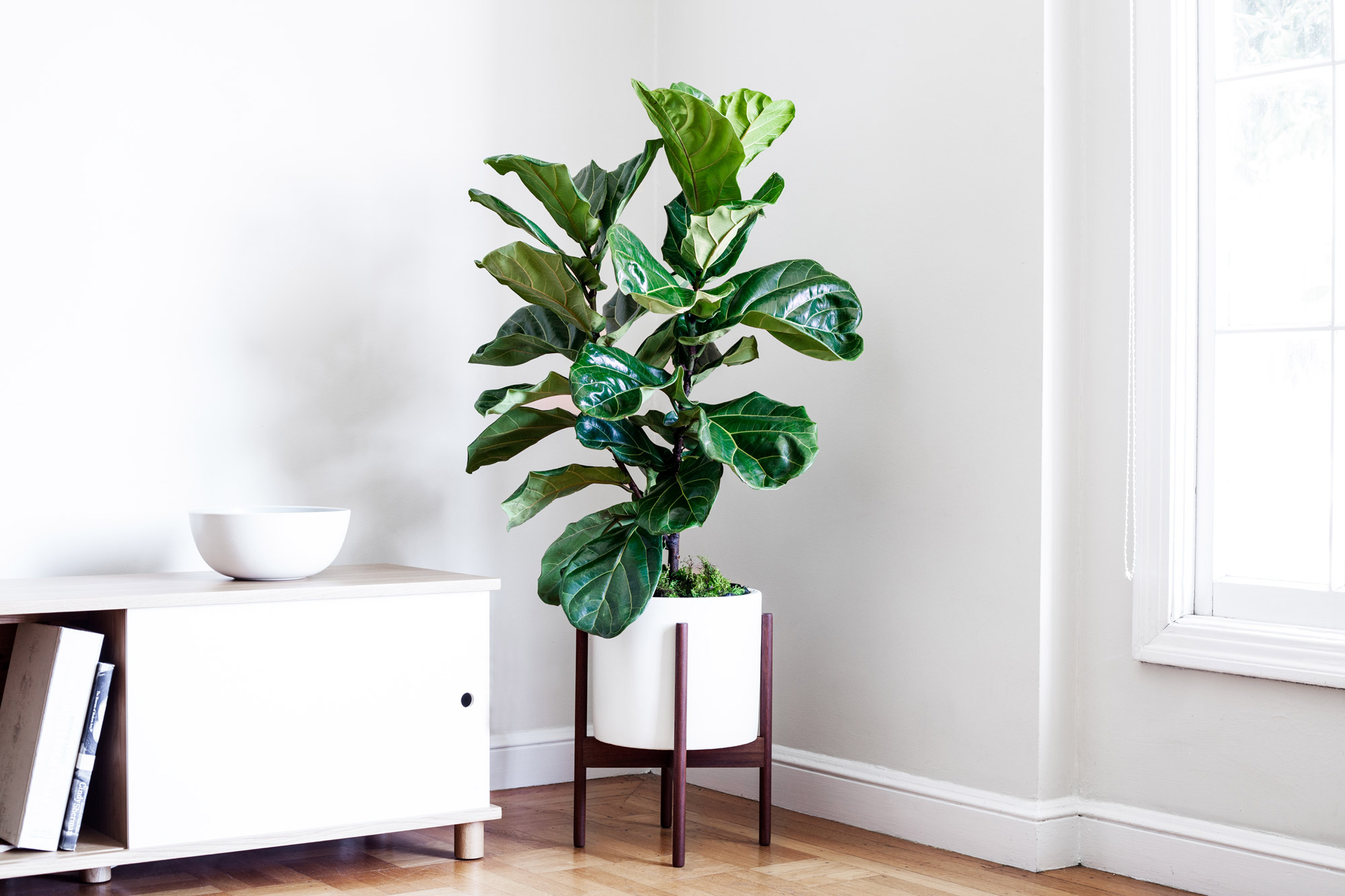 JUNIOR FIDDLE LEAF FIG BUSH - A lush and sculptural plant with elegant violin-shaped leaves, the Junior Fiddle Leaf Fig Bush makes for a dramatic addition to any indoor space – truly a must-have for all who appreciate style and greenery.3-4ft tall plant with ceramic pot and reclaimed wood stand: $299