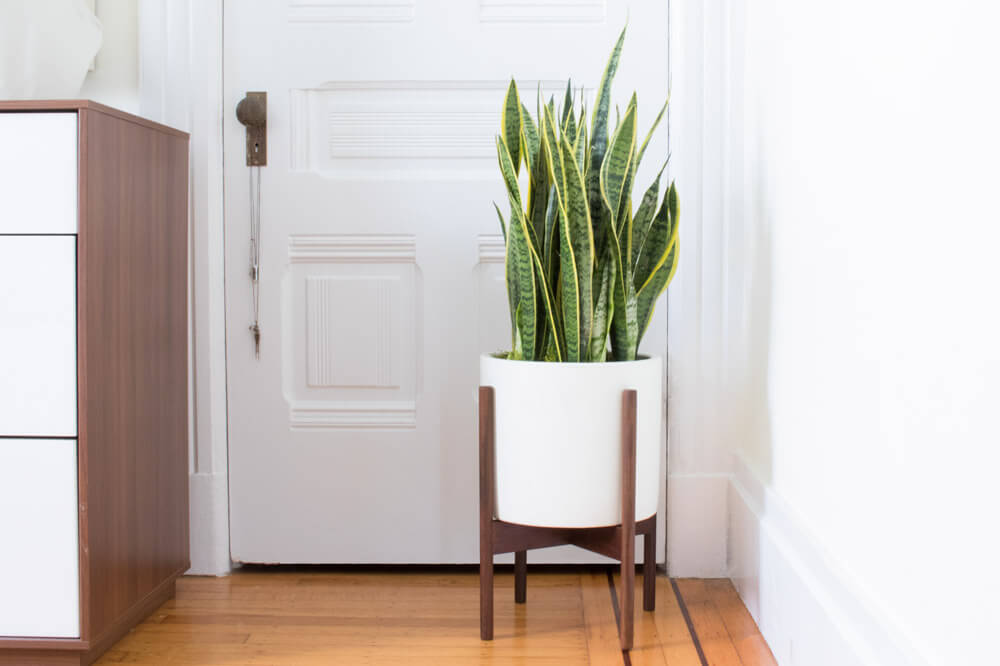 LARGE SNAKE PLANT - A large succulent and thus extremely adaptable and low maintenance – the perfect starter plant. It is also a terrific air purifier, making it a healthy and attractive addition to any indoor space.3ft tall plant with ceramic pot and reclaimed wood stand: $299Delivery in SF & LA included