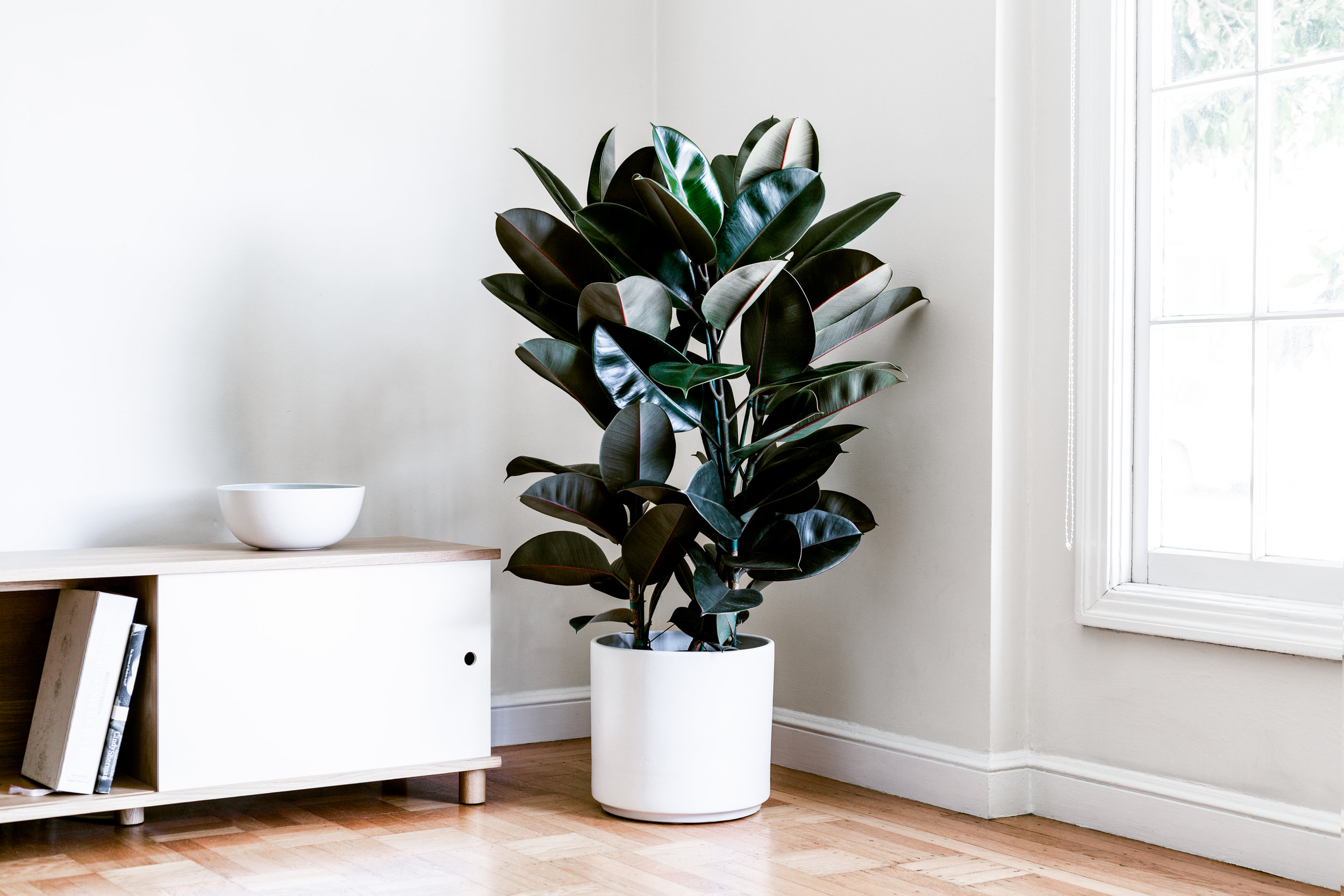 Rubber tree - With its burgundy-colored leaves, this plant makes a unique option for any indoor space. Grows quickly in ideal conditions and is easy to care for. Crimson casings of new leaves adds a pop of color and is the perfect statement piece for budding plant parents.3-4ft tall with ceramic pot: $299