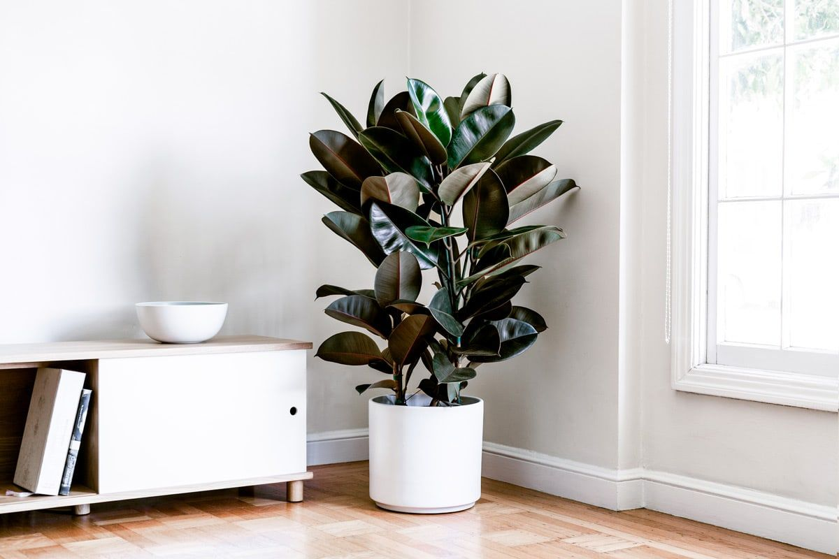 RUBBER TREE - With its burgundy-colored leaves, this plant makes a unique option for any indoor space. Grows quickly in ideal conditions and is easy to care for. Crimson casings of new leaves adds a pop of color and is the perfect statement piece for budding plant parents.3-4ft tall with ceramic pot: $299Delivery included in SF & LA