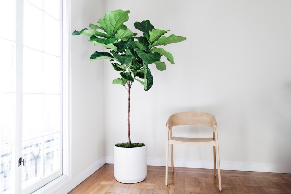 FIDDLE LEAF FIG TREE - A lush and sculptural plant with elegant violin-shaped leaves.6ft tall with ceramic pot: $499Delivery included in SF & LA