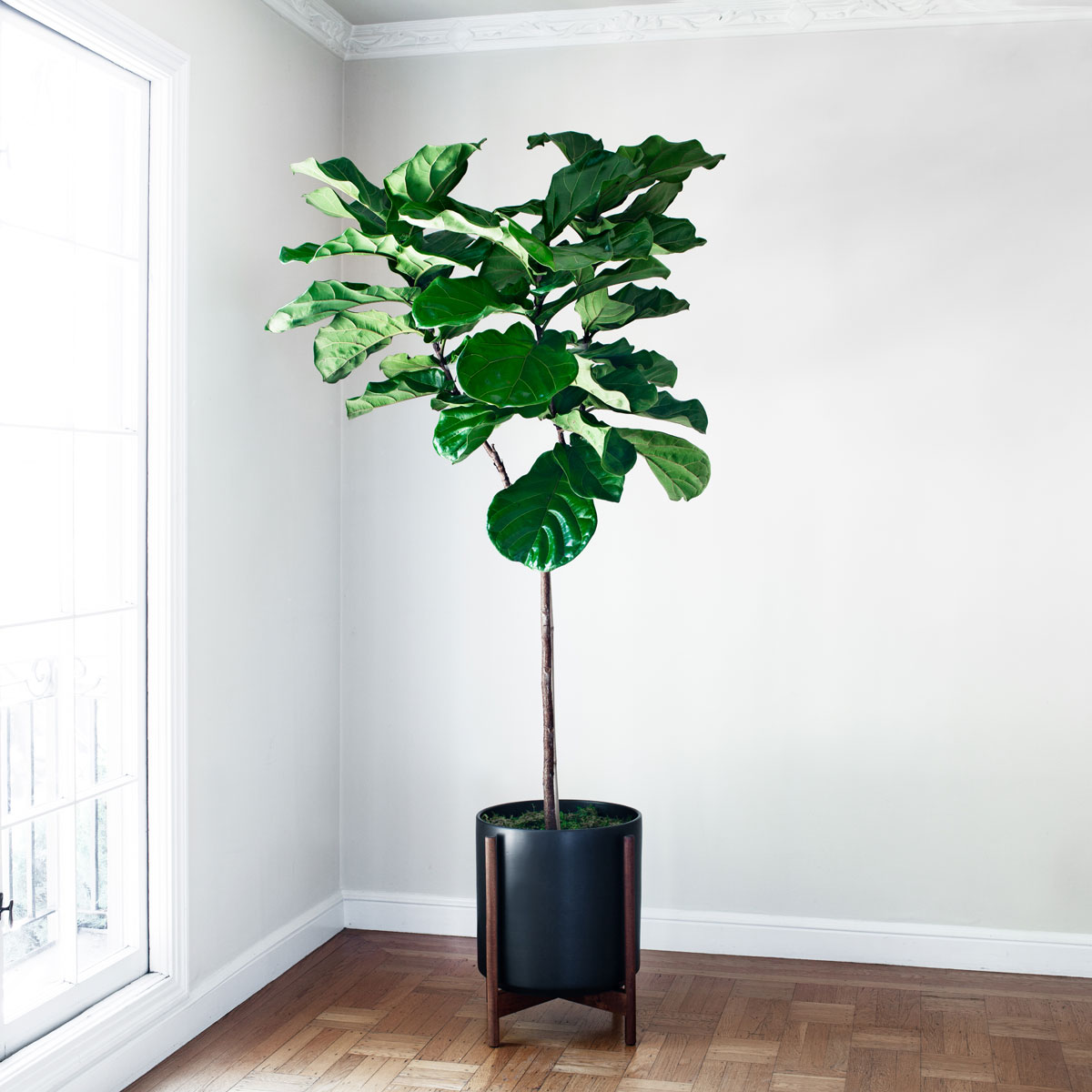 FIDDLE LEAF FIG TREE - A lush and sculptural plant with elegant violin-shaped leaves, the Fiddle Leaf Fig Tree makes for a dramatic addition to any indoor space – truly a must-have for all who appreciate style and greenery.6-7ft tall plant with ceramic pot and reclaimed wood stand: $599Delivery in SF & LA included