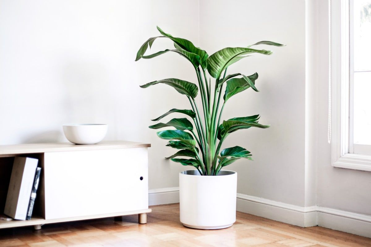 BIRD OF PARADISE - A popular indoor plant for creating that instant jungle atmosphere.3-4ft tall plant with ceramic pot