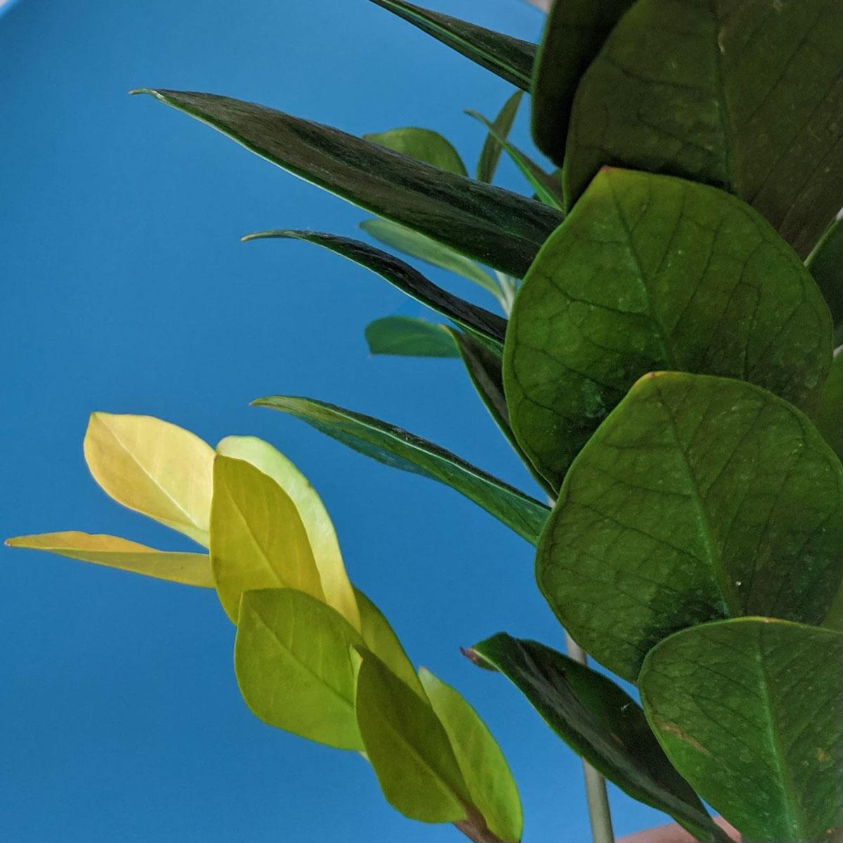 Zanzibar Gem Yellow Leaves