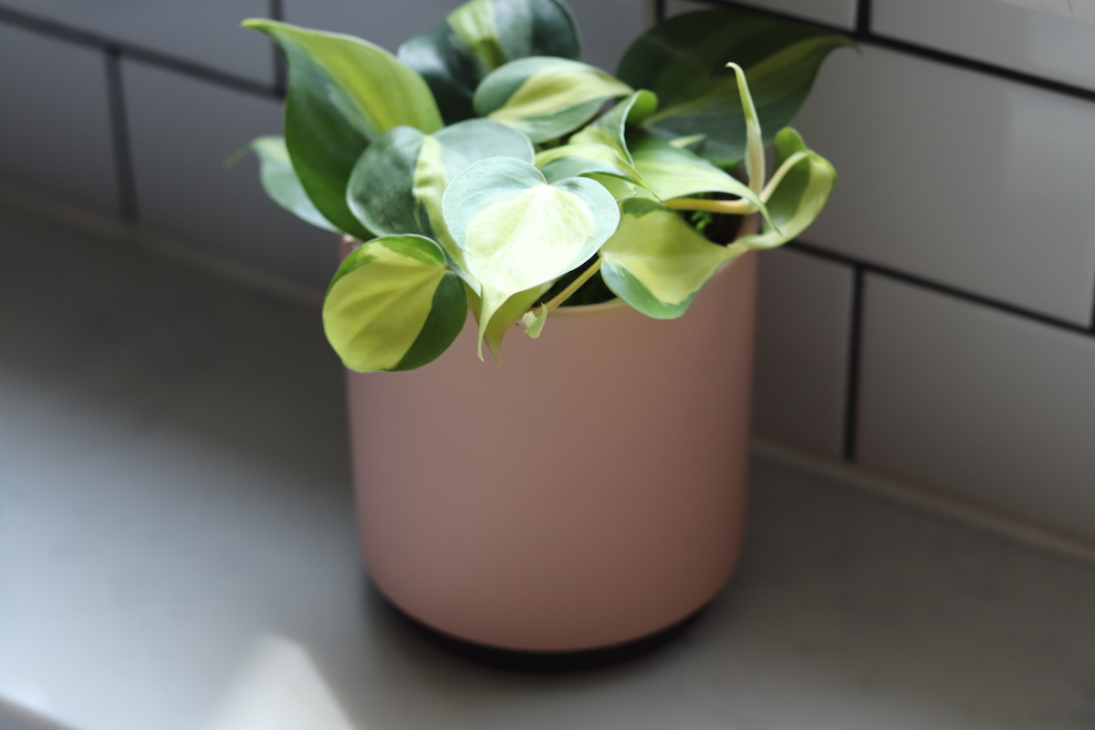 The philodendron brasil: an easy care plant for even the blackest of thumbs.