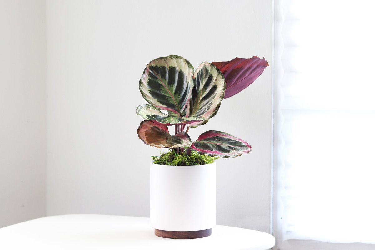 CALATHEA MEDALLION - A stunning prayer plant with a deep color palette of leaves painted by nature. Loves humid environments, bright light and distilled or rainwater.