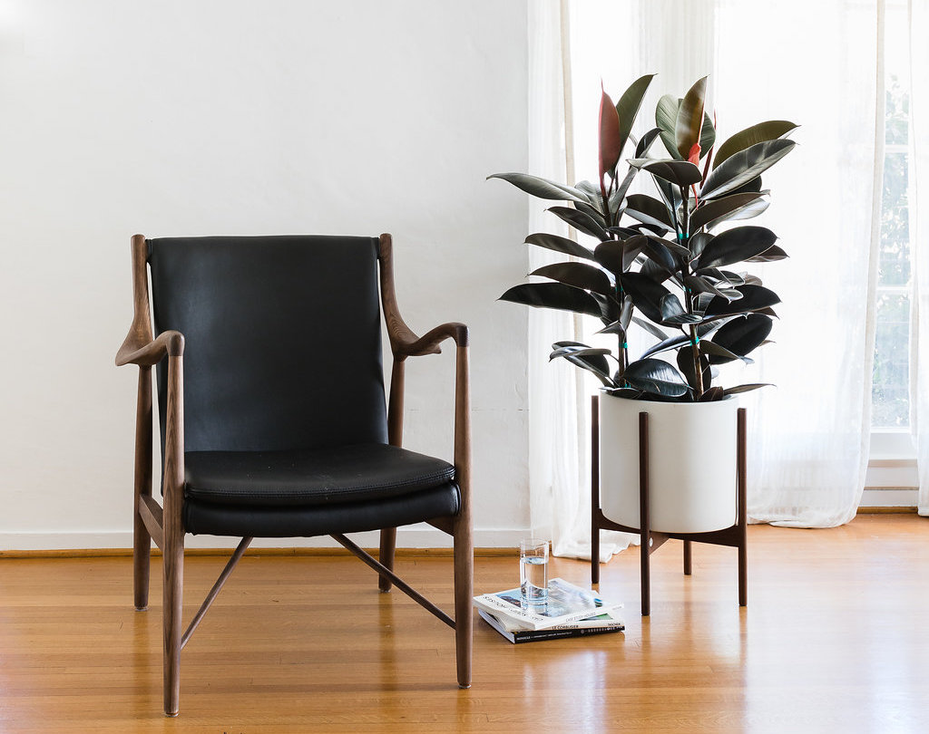 Rubber tree - Easy and versatile, the Rubber Tree is a popular indoor plant with deep burgundy leaves and a beautiful shine.