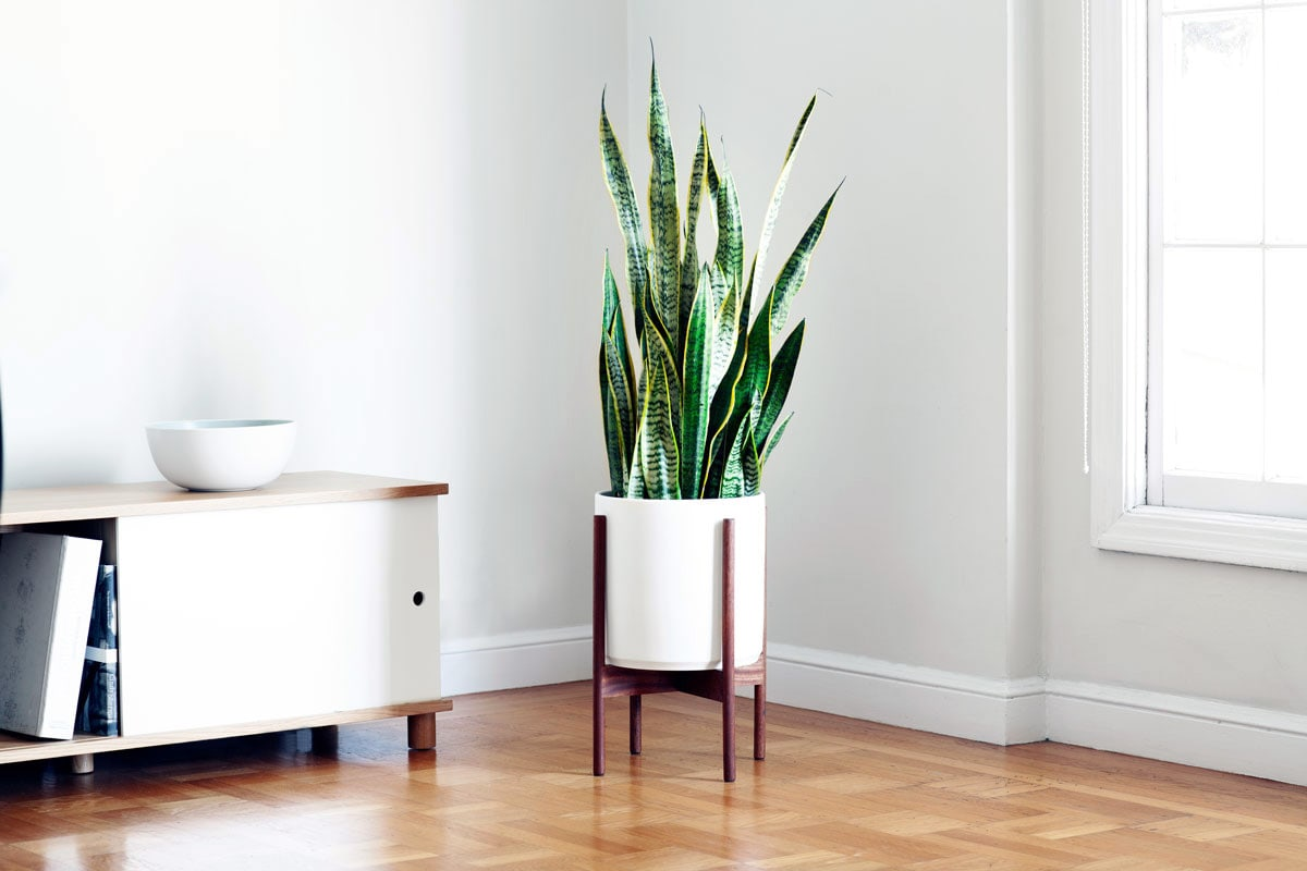SNAKE PLANT - A large succulent and thus extremely adaptable and low maintenance – the perfect starter plant. It is also a terrific air purifier, making it a healthy and attractive addition to any indoor space.