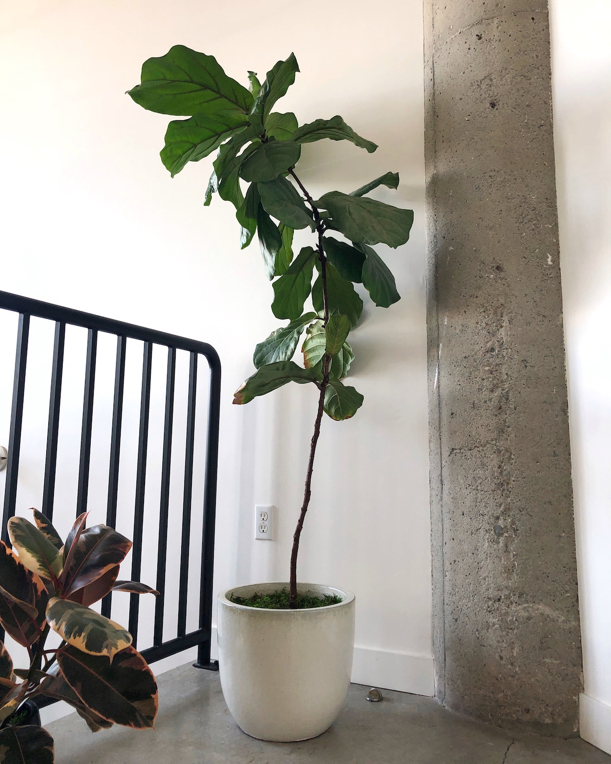 Fiddle Leaf Fig Tree growing towards its light source.