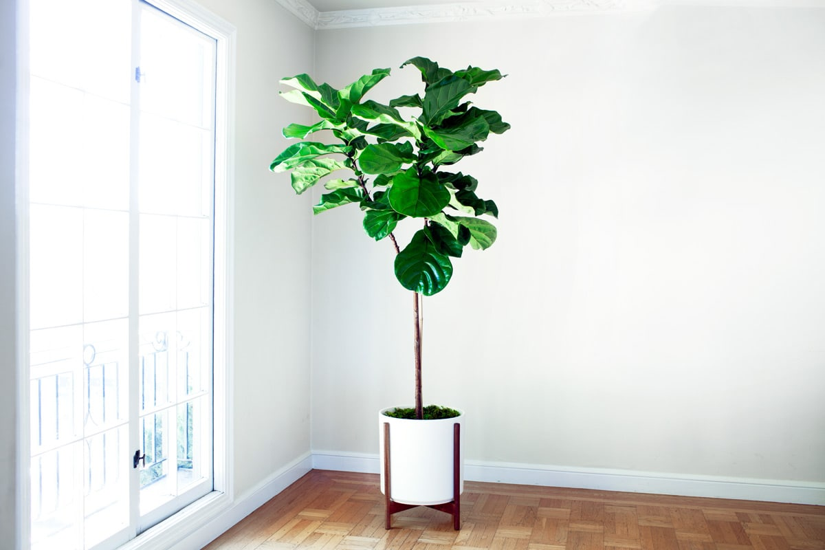 FIDDLE LEAF FIG TREE - A lush and sculptural plant with elegant violin-shaped leaves.