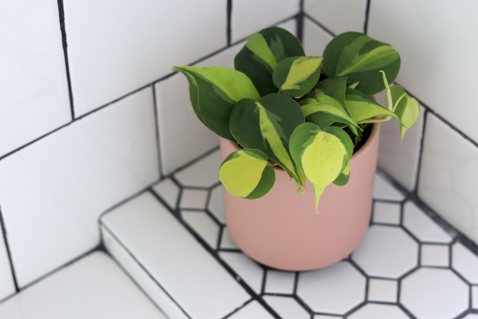 The  Phiolodendron Brasil  is a humid-loving plant great for bathrooms.