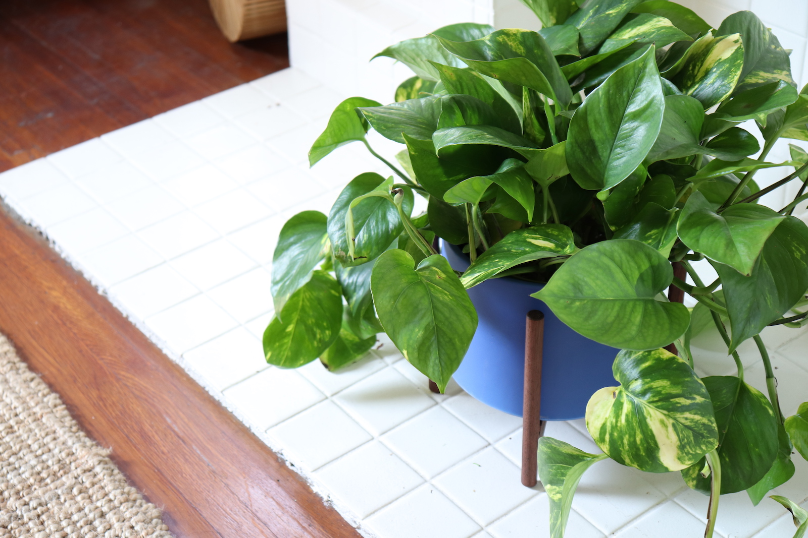 The Pothos or Devil's Ivy is an easy care plant perfect for the bathroom